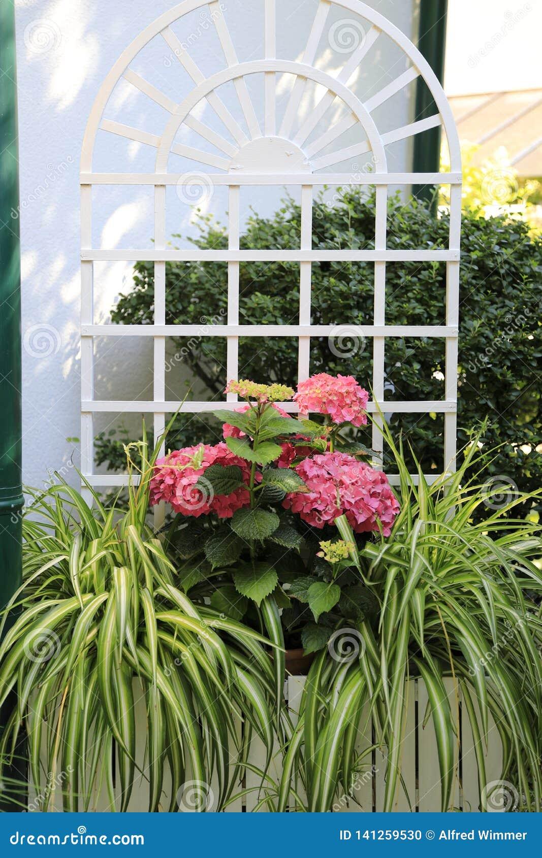 Décoration de fleur pour la terrasse : hortensias et comosum roses de chlorophytum