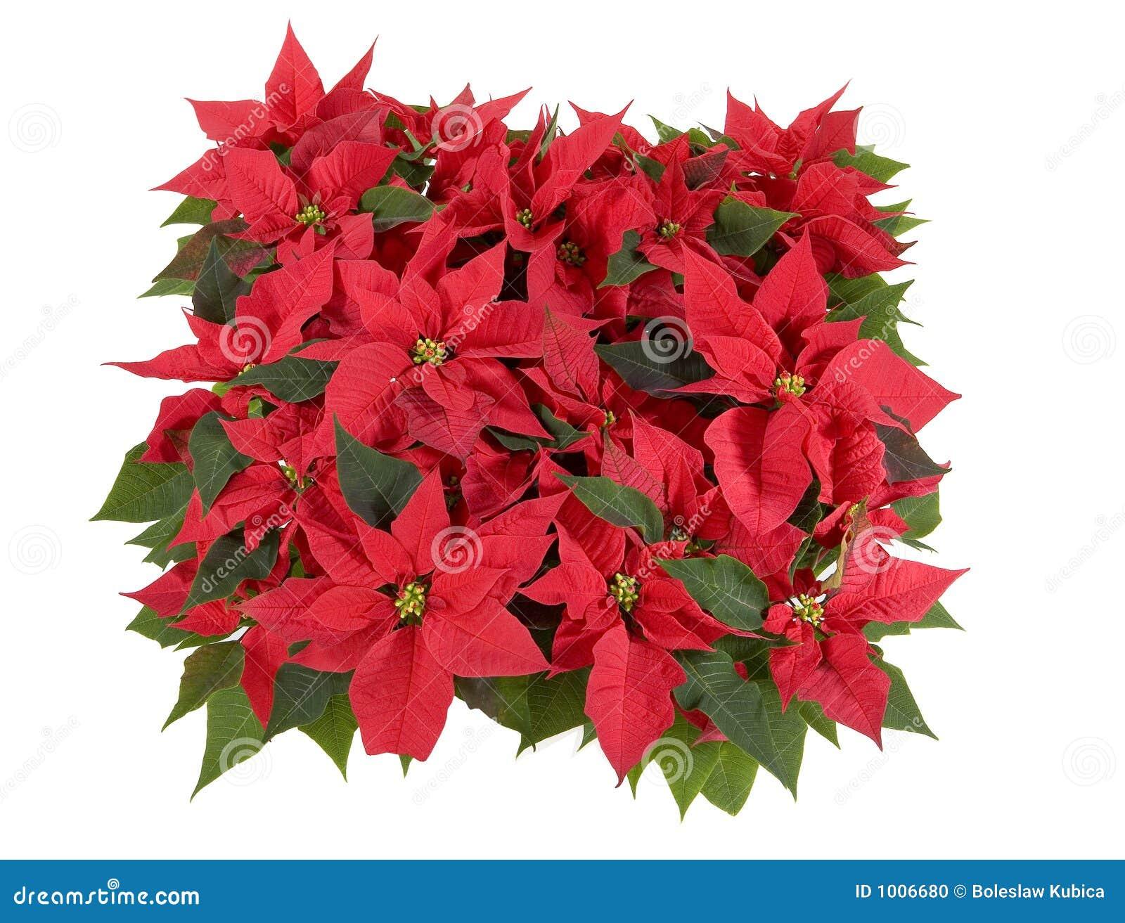 Décorations de Noël - poinsettia rouge