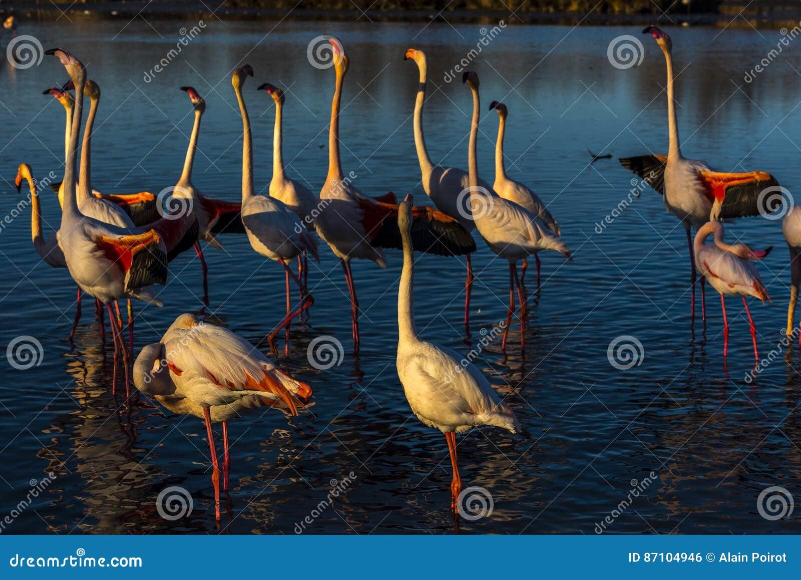 Défilé nuptial des flamants au coucher du soleil et au x28 ; le salut d aile et le x29 ;