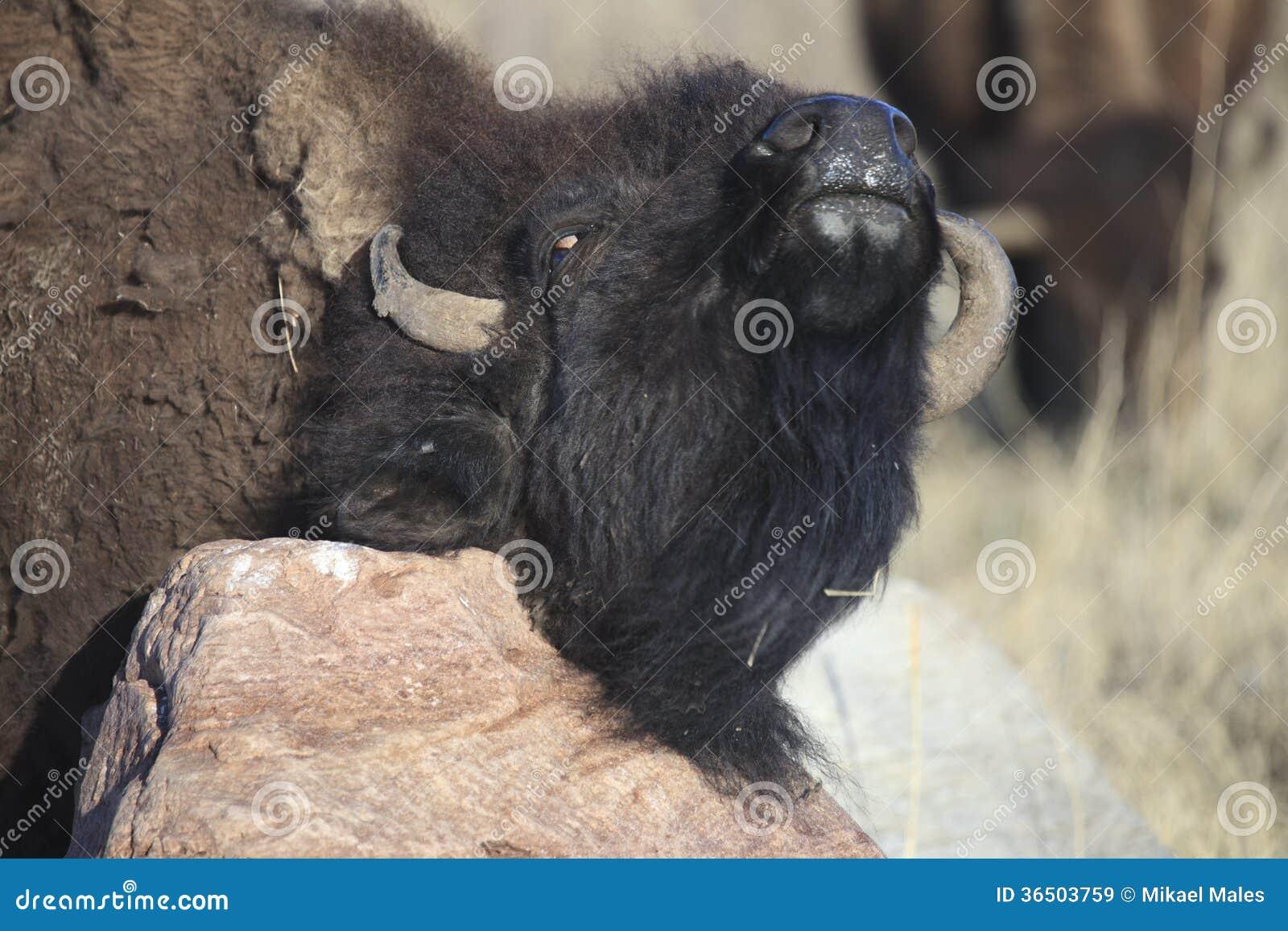 Démangeaison de Buffalo