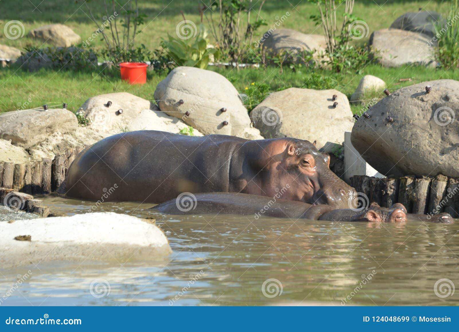 Désambiguisation d hippopotame