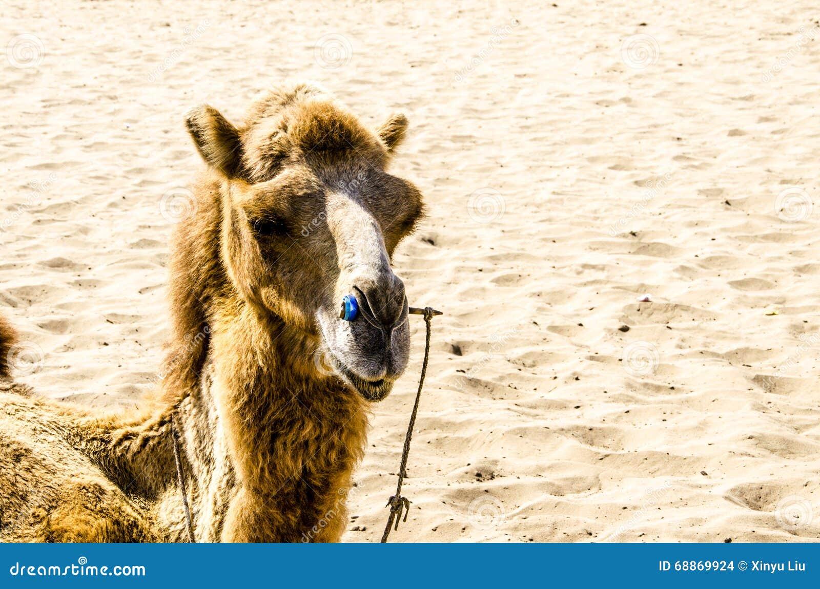 Déserts et chameau