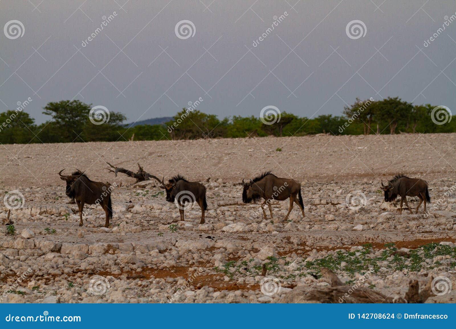 Déserts et nature bleus de la Namibie de gnou en parcs nationaux