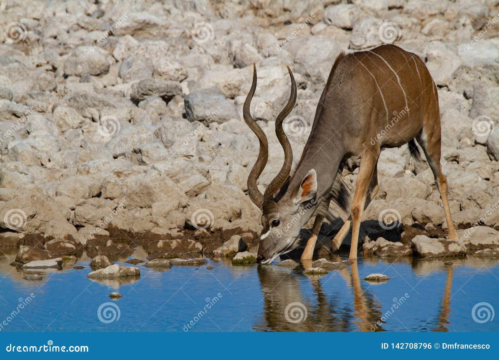 Déserts et nature de Kudu Namibie en parcs nationaux