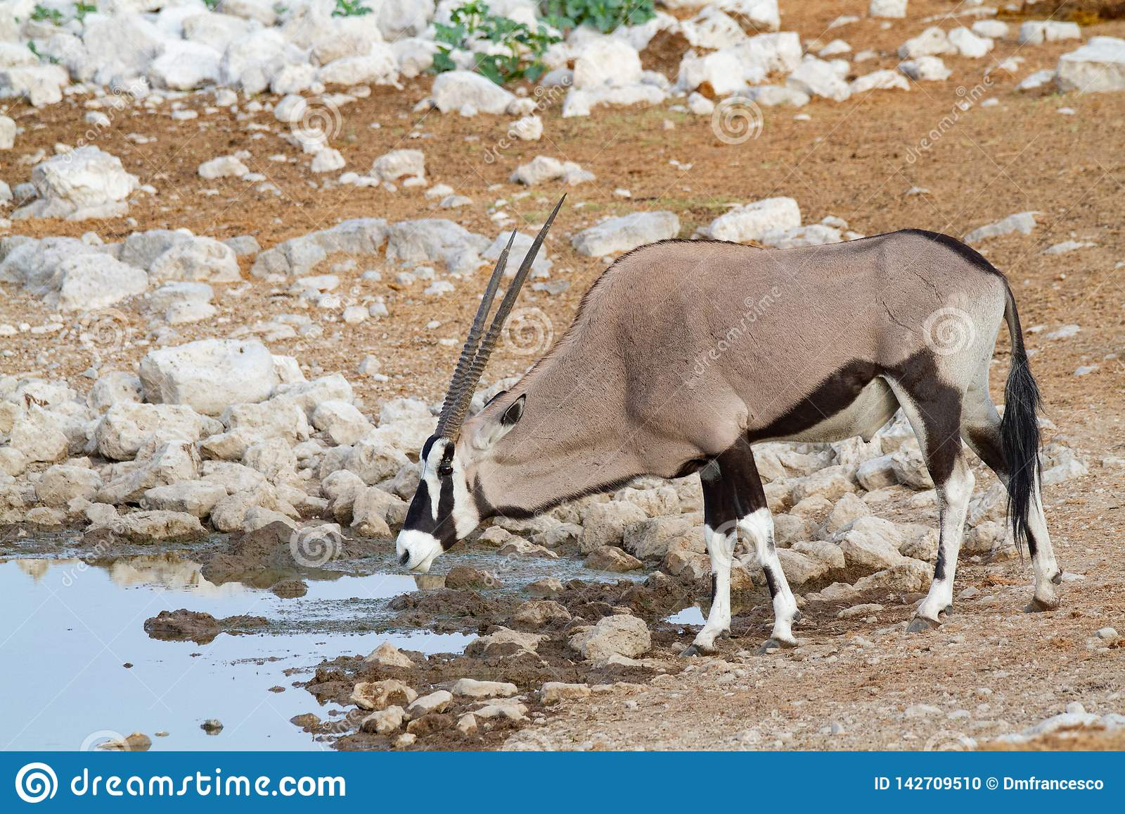 Déserts et nature de la Namibie d oryx de Gemsbok en parcs nationaux