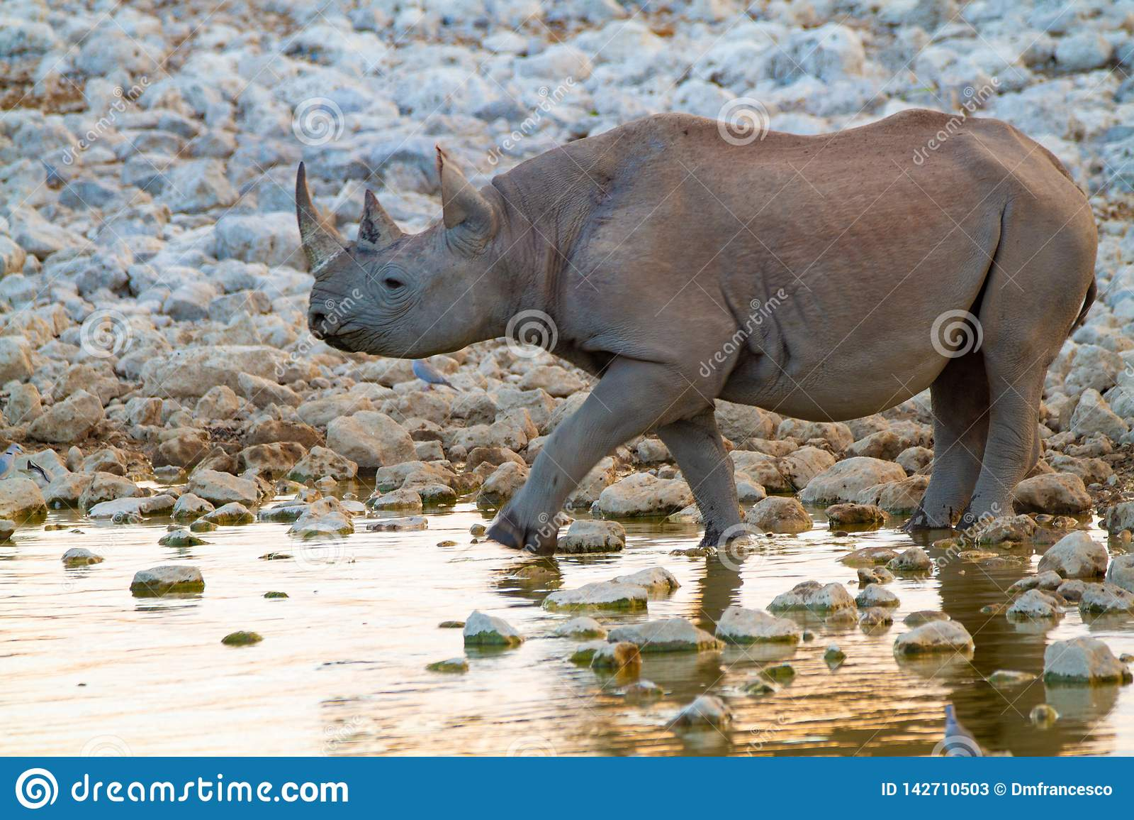 Déserts et nature mammifères africains de rhinocéros en parcs nationaux