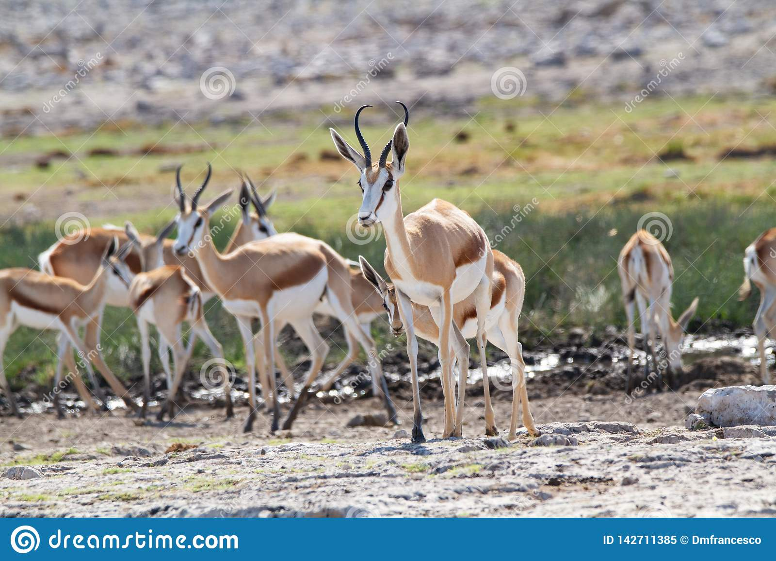 Déserts et nature mammifères africains de springbok en parcs nationaux