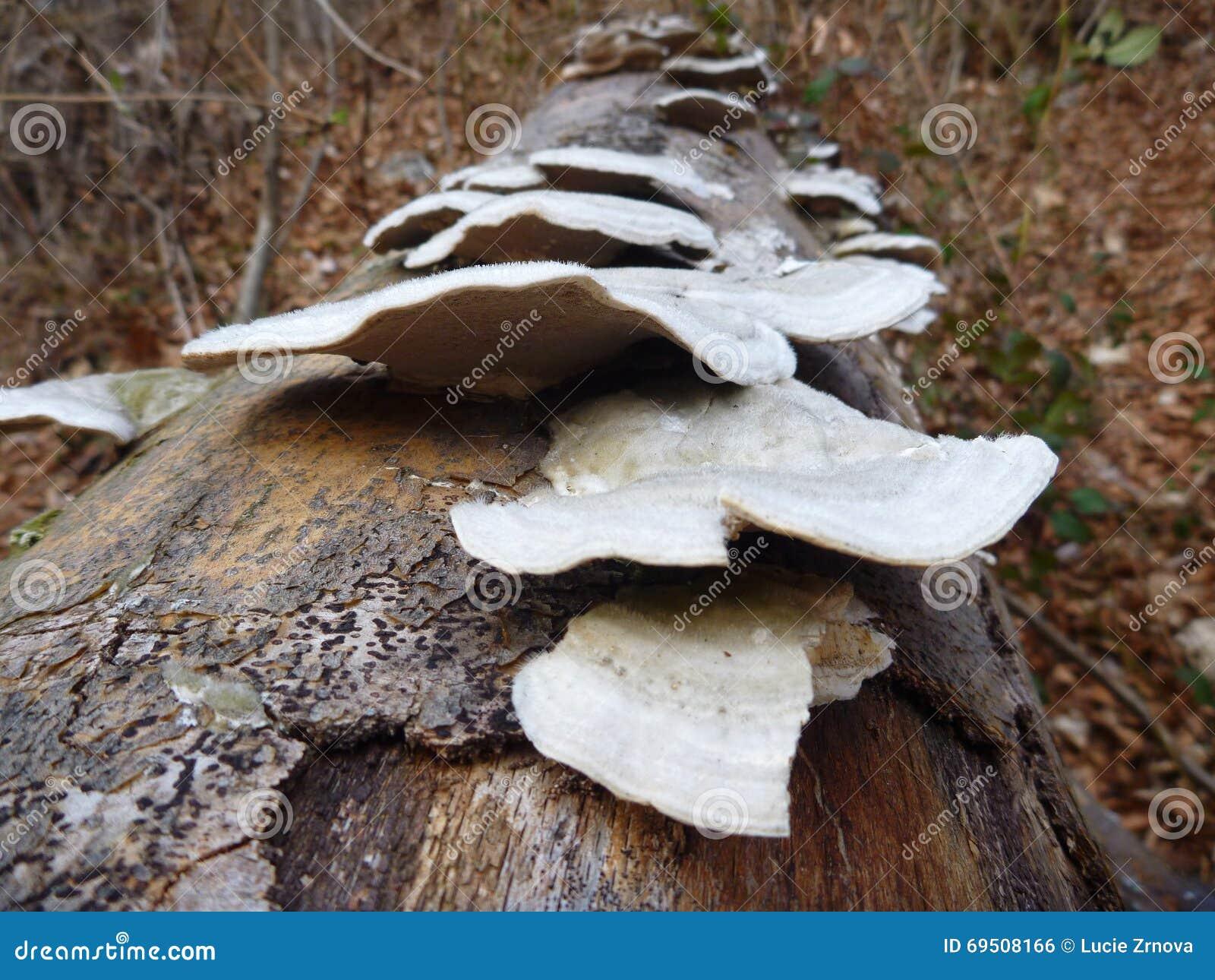 D tail d 39 un champignon sur un tronc d 39 arbre photo stock image 69508166 - Champignon sur tronc d arbre ...