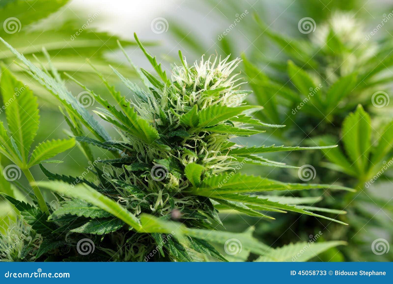 Détail d un flowerhead de cannabis