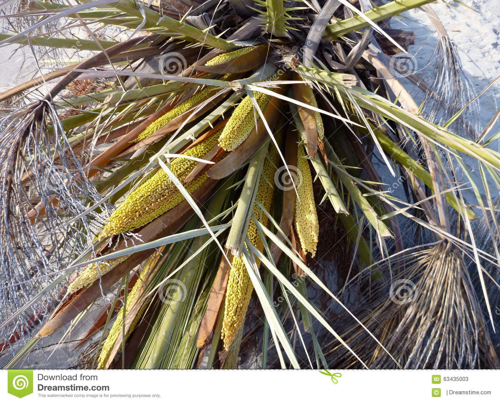Detail D Un Palmier Dattier Dans Une Fleur Image Stock Image Du