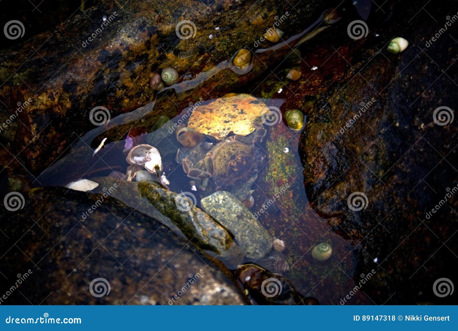 Détail de crabe dans la piscine de marée