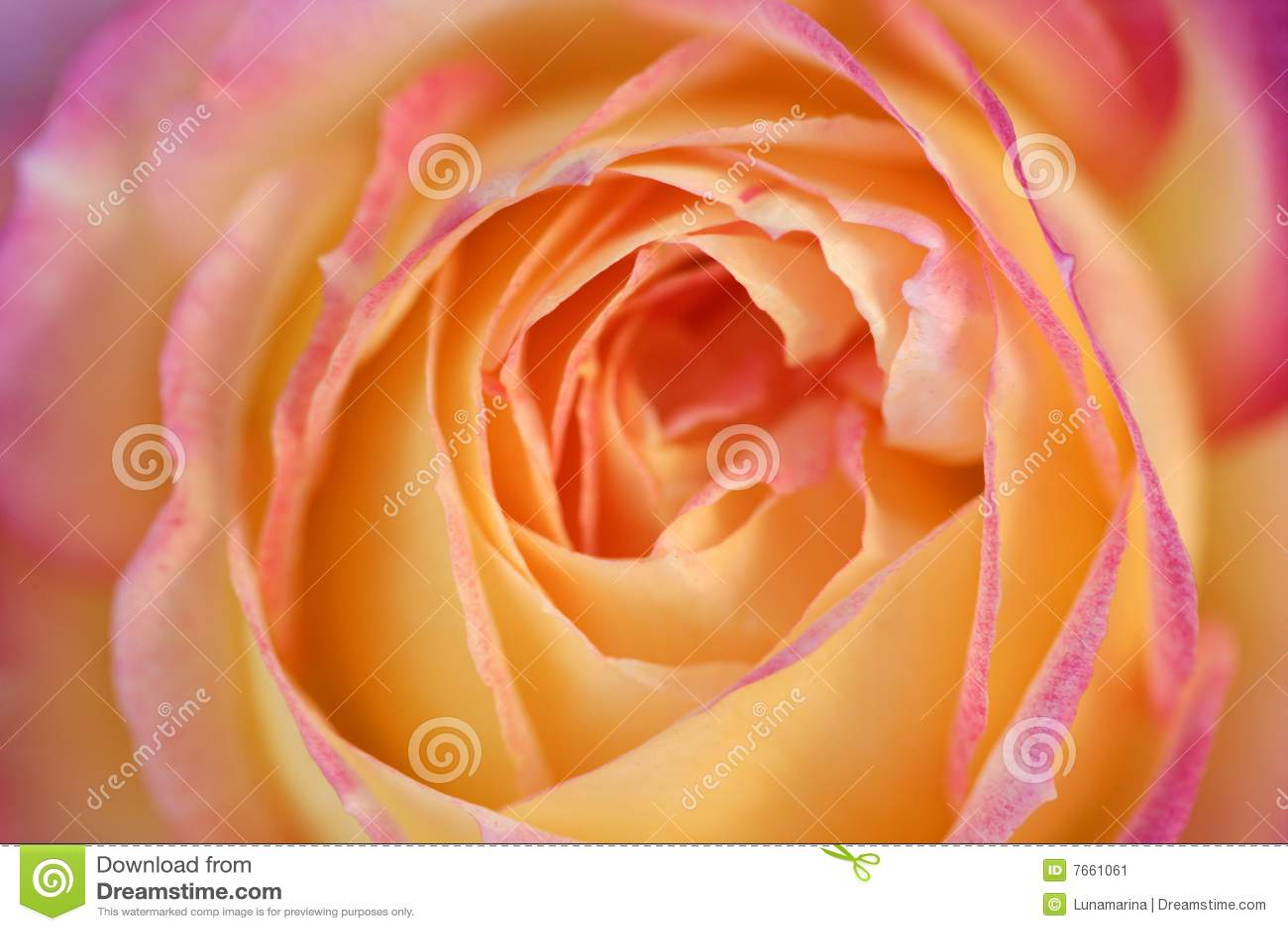 Détail de fleur rose d orange macro dans la lumière molle