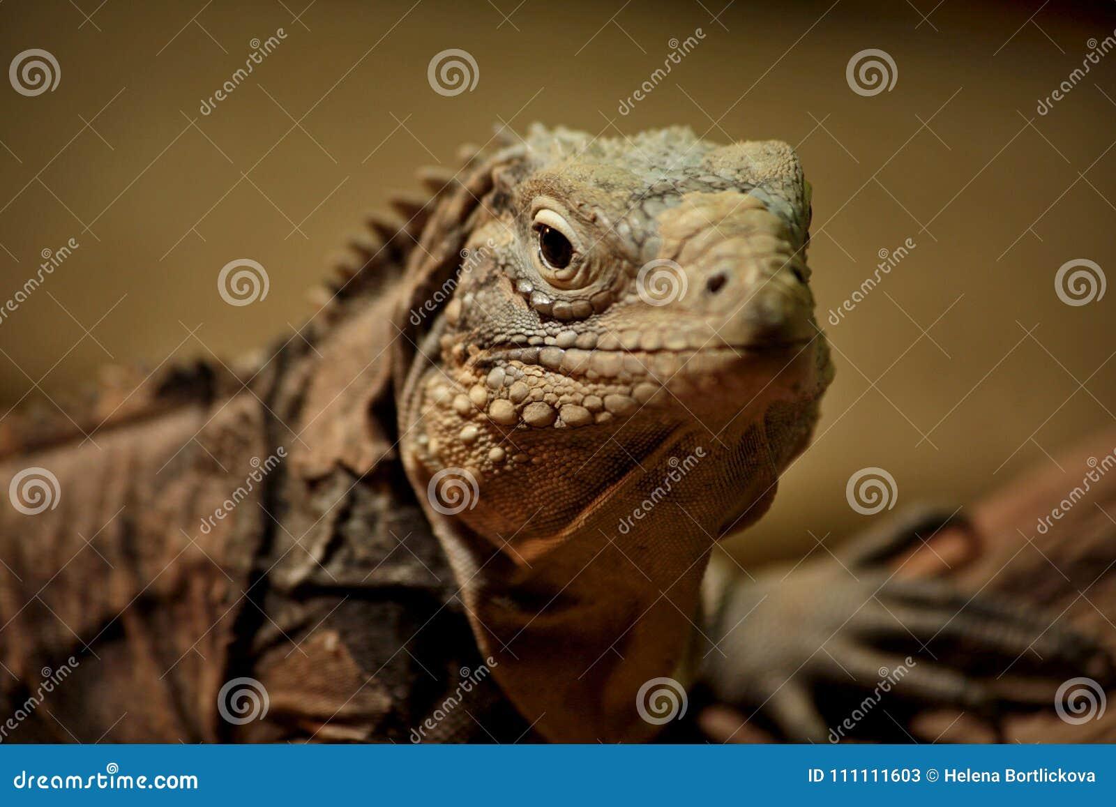 Détail de macro d iguane