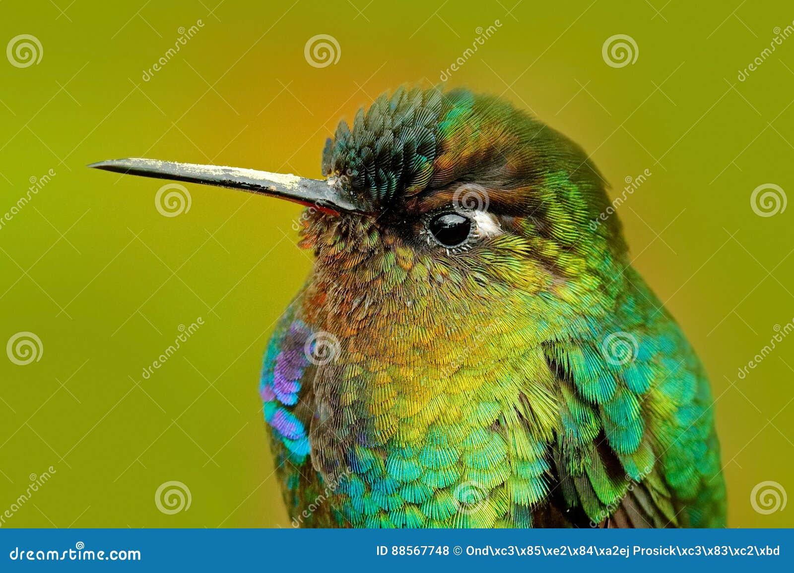 Détail de plumage brillant de colibri colibri Ardent-throated, insignis de Panterpe, oiseau de couleur se reposant sur la branche