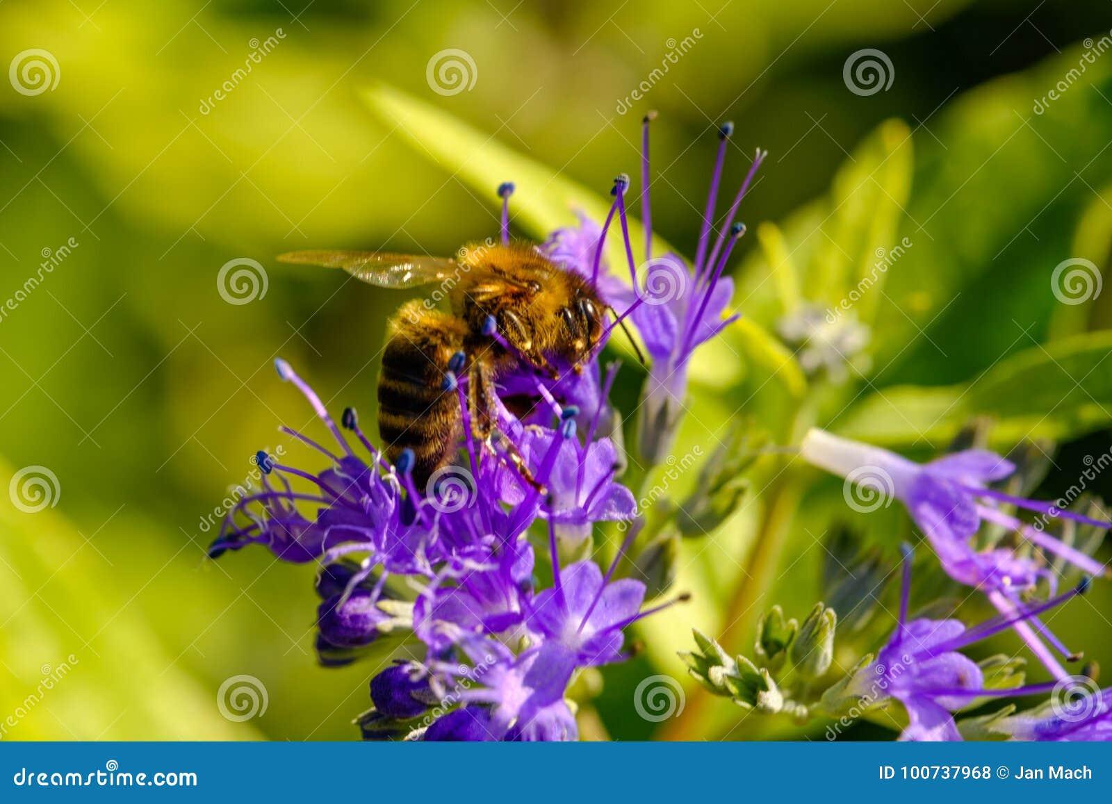 Détail de pollination d abeille