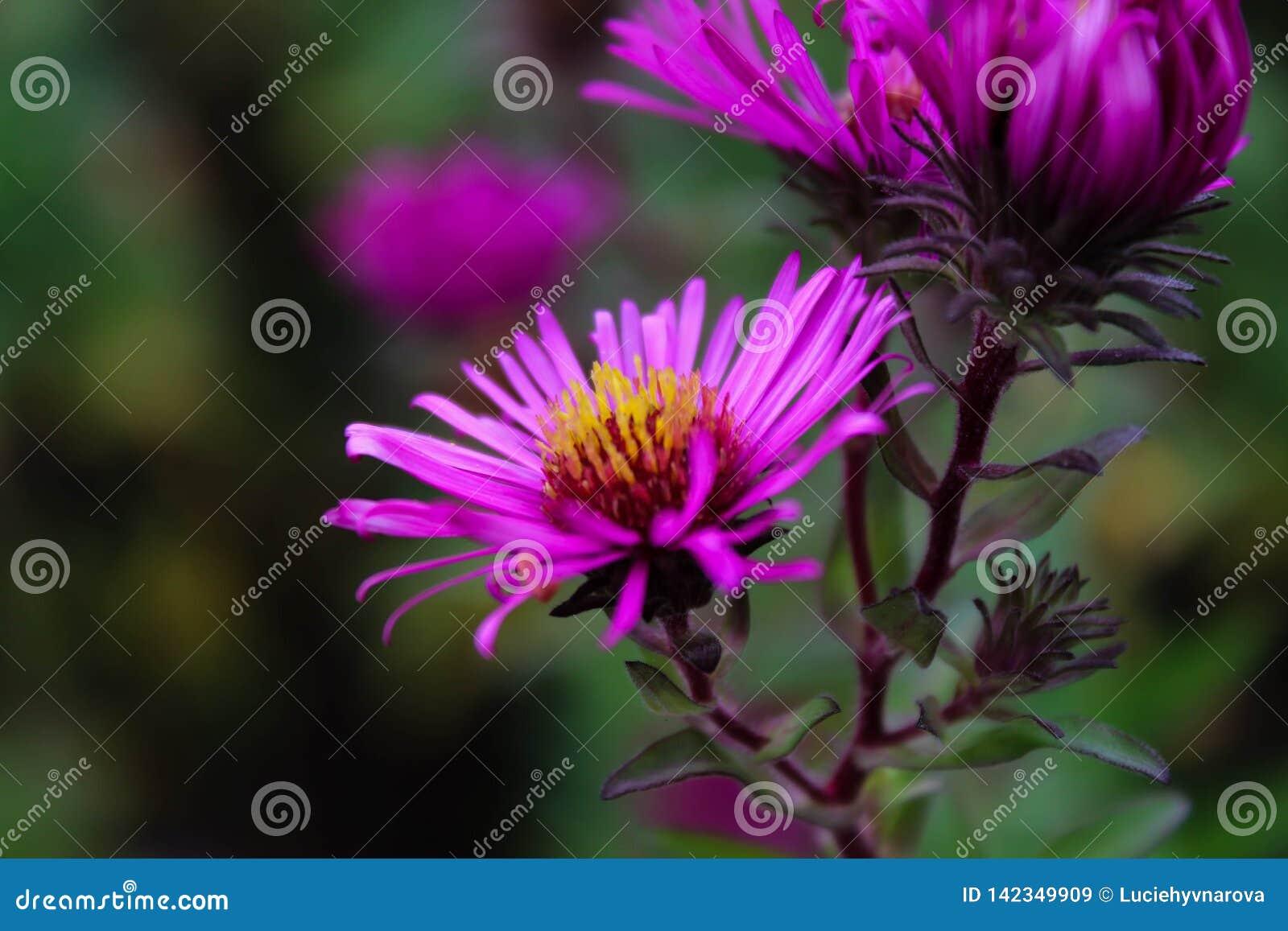 Détail pourpre de fleurs d été