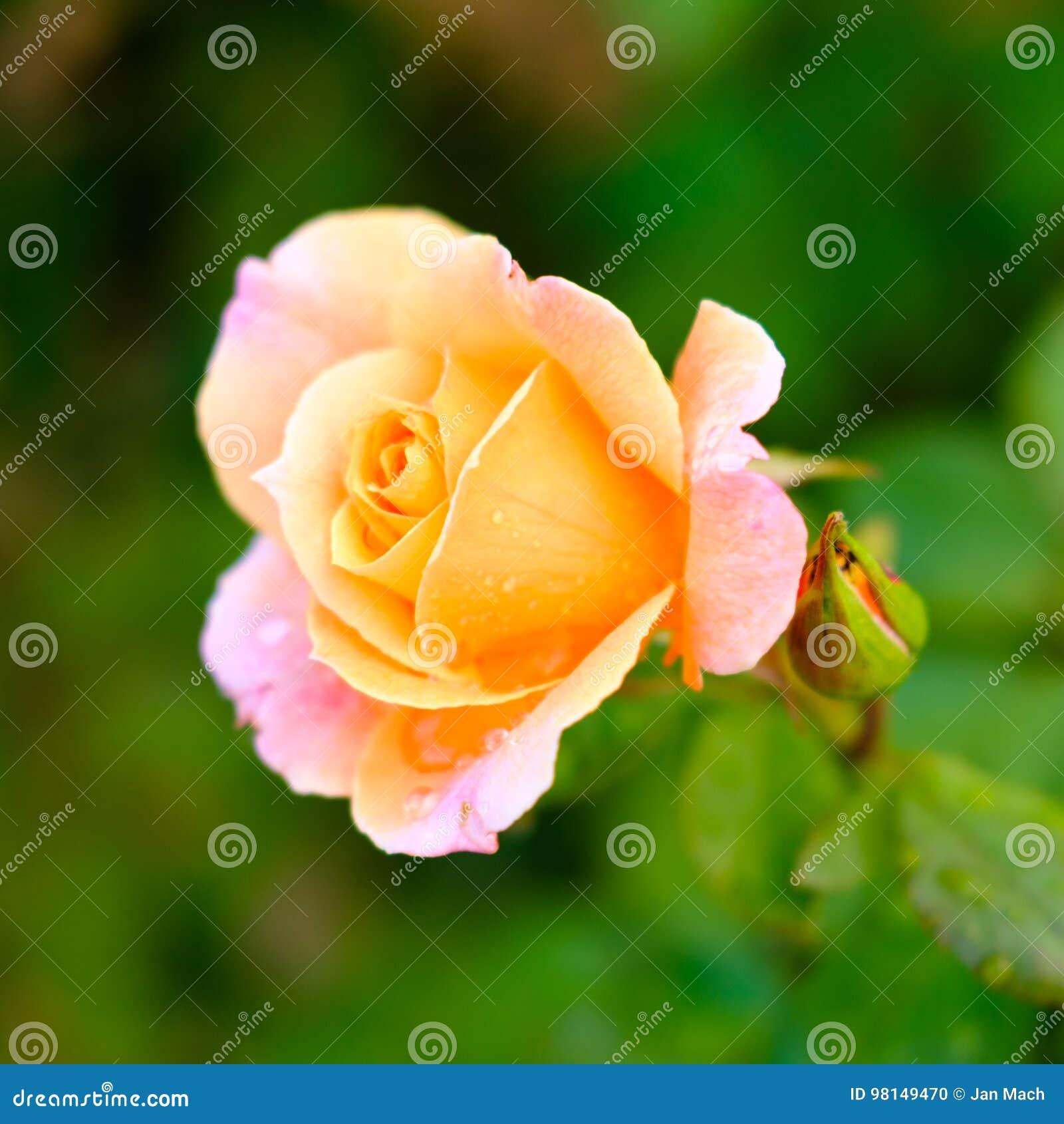 Detail Rose Multicolore Photo Stock Image Du Amour Multicolore