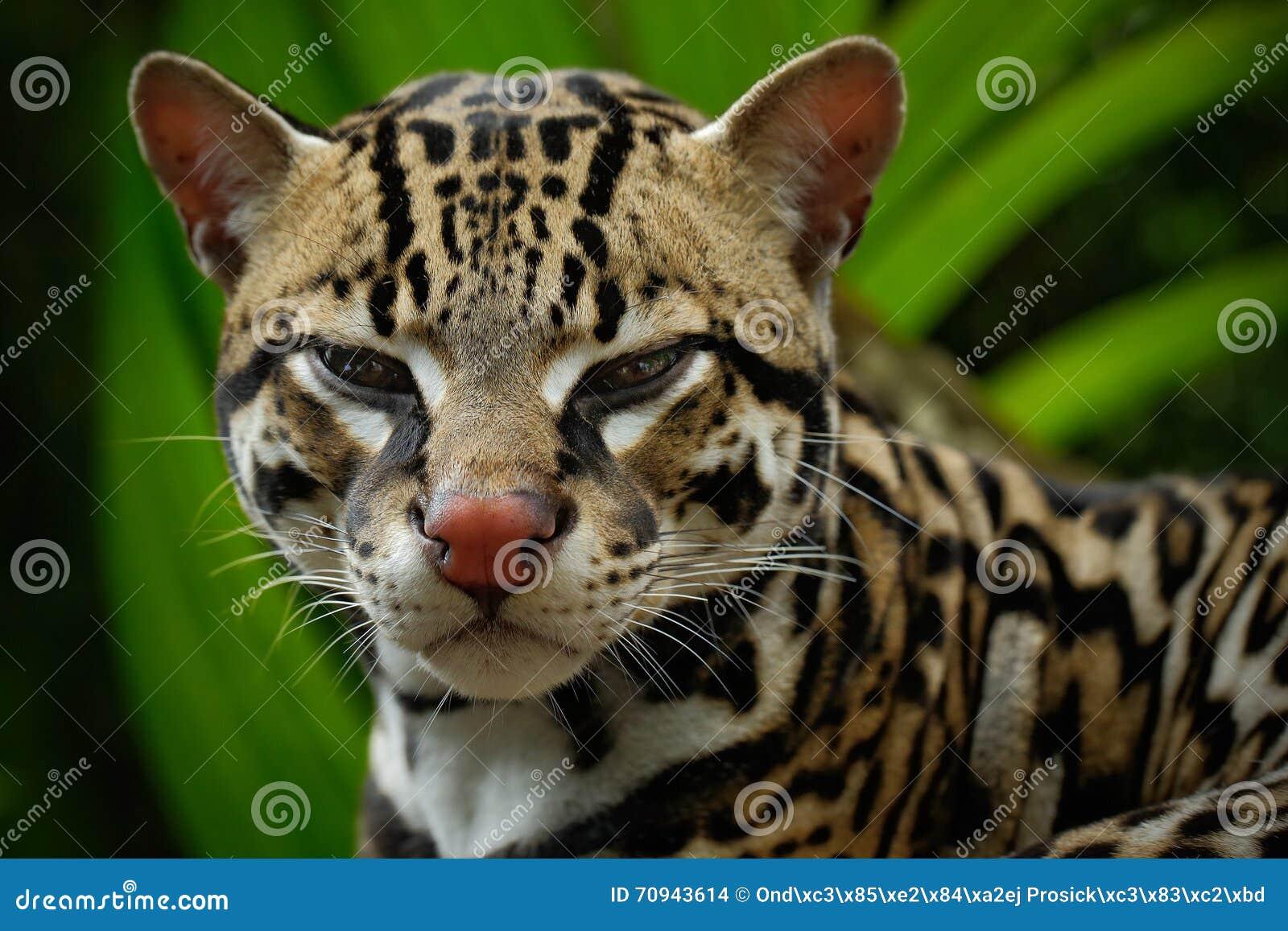 Détaillez le portrait de l ocelot, la séance margay de chat gentil sur la branche dans la forêt tropicale costarican, animal dans