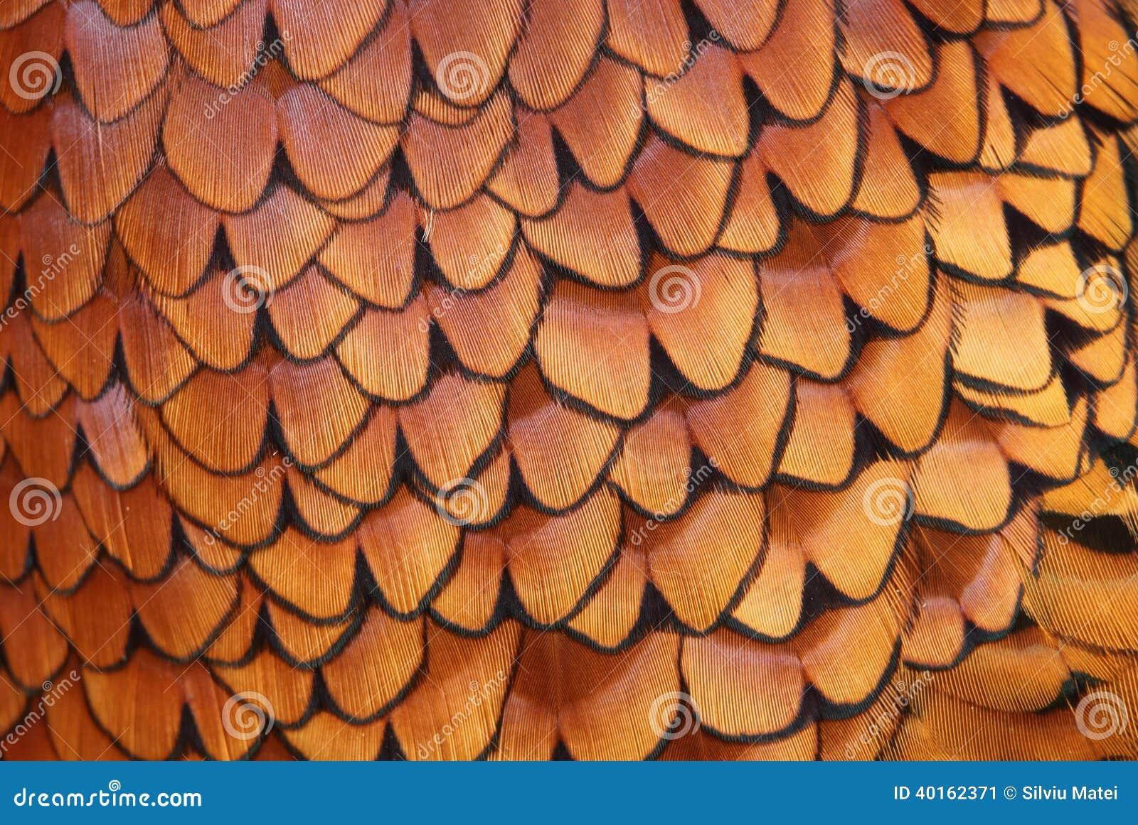 Détails de plumage commun de faisan (colchicus de Phasianus)