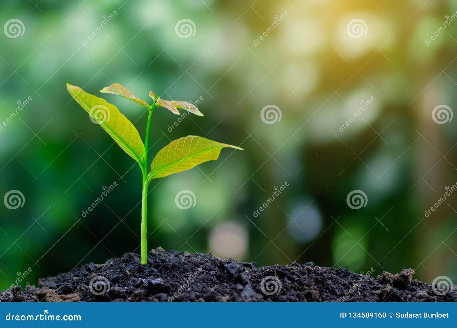 Développement de croissance de jeune plante plantant la jeune usine de jeunes plantes dans la lumière de matin sur le fond de nat