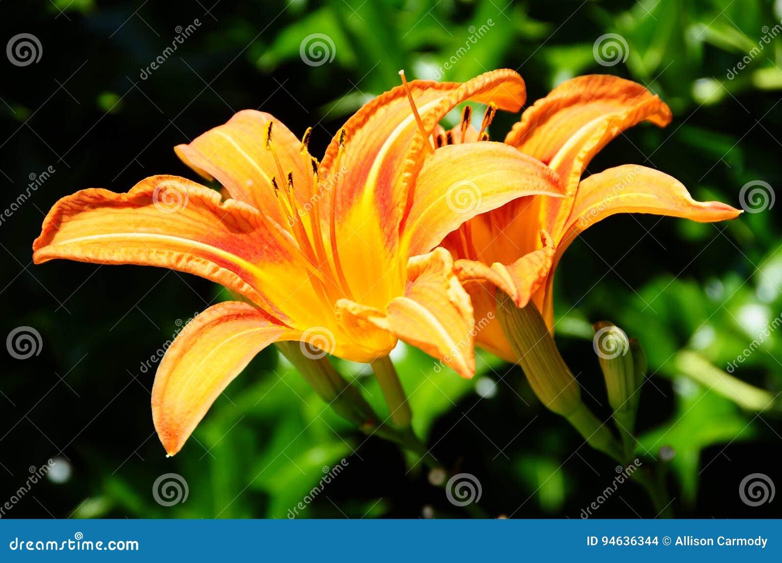 Día anaranjado Lily In Backyard Garden