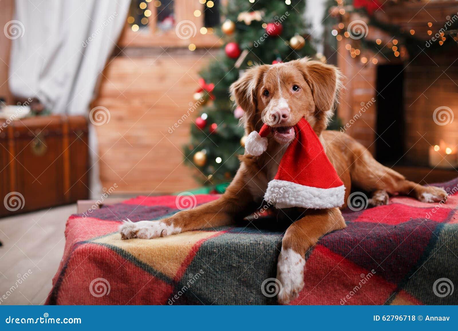 Día de fiesta de Nova Scotia Duck Tolling Retriever del perro, la Navidad