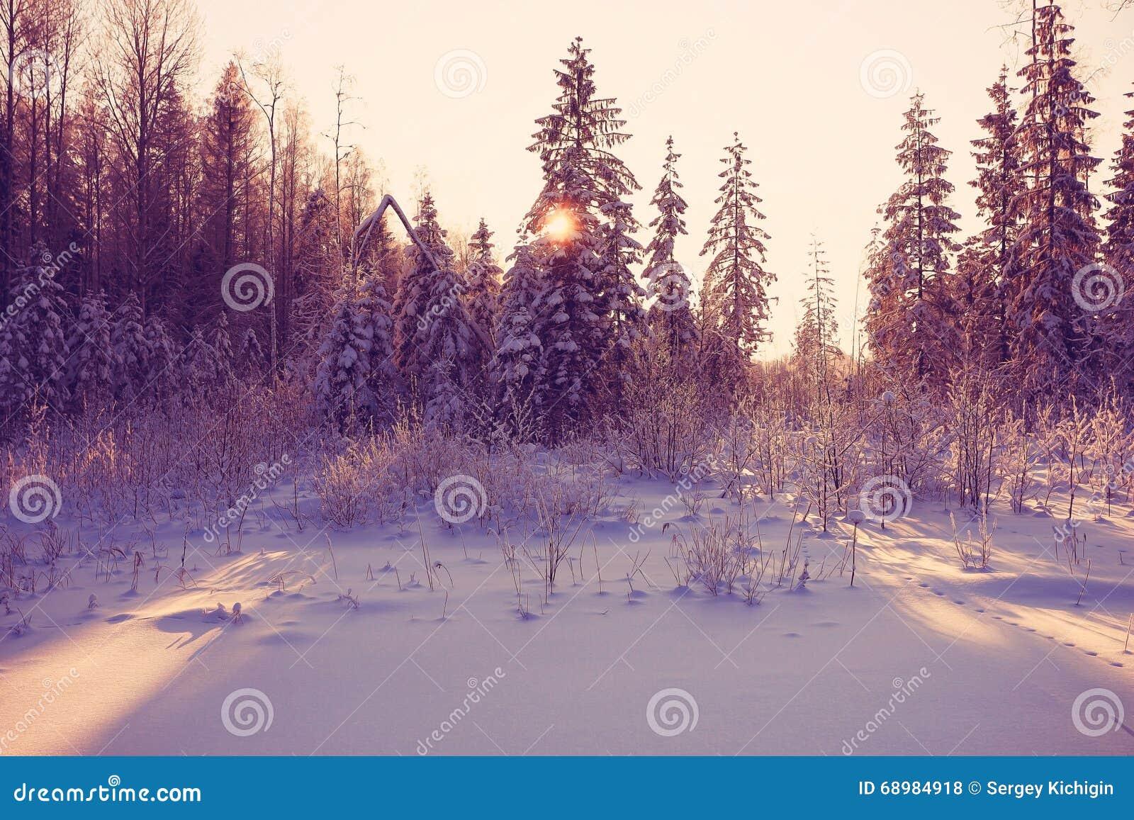 Día frío del invierno en bosque del abeto