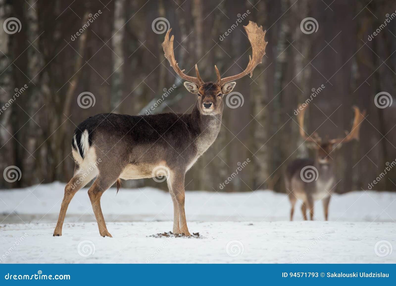 Dólar de los ciervos en barbecho Ciervos en barbecho adultos potentes majestuosos, dama del Dama, en bosque del invierno, Bielorr