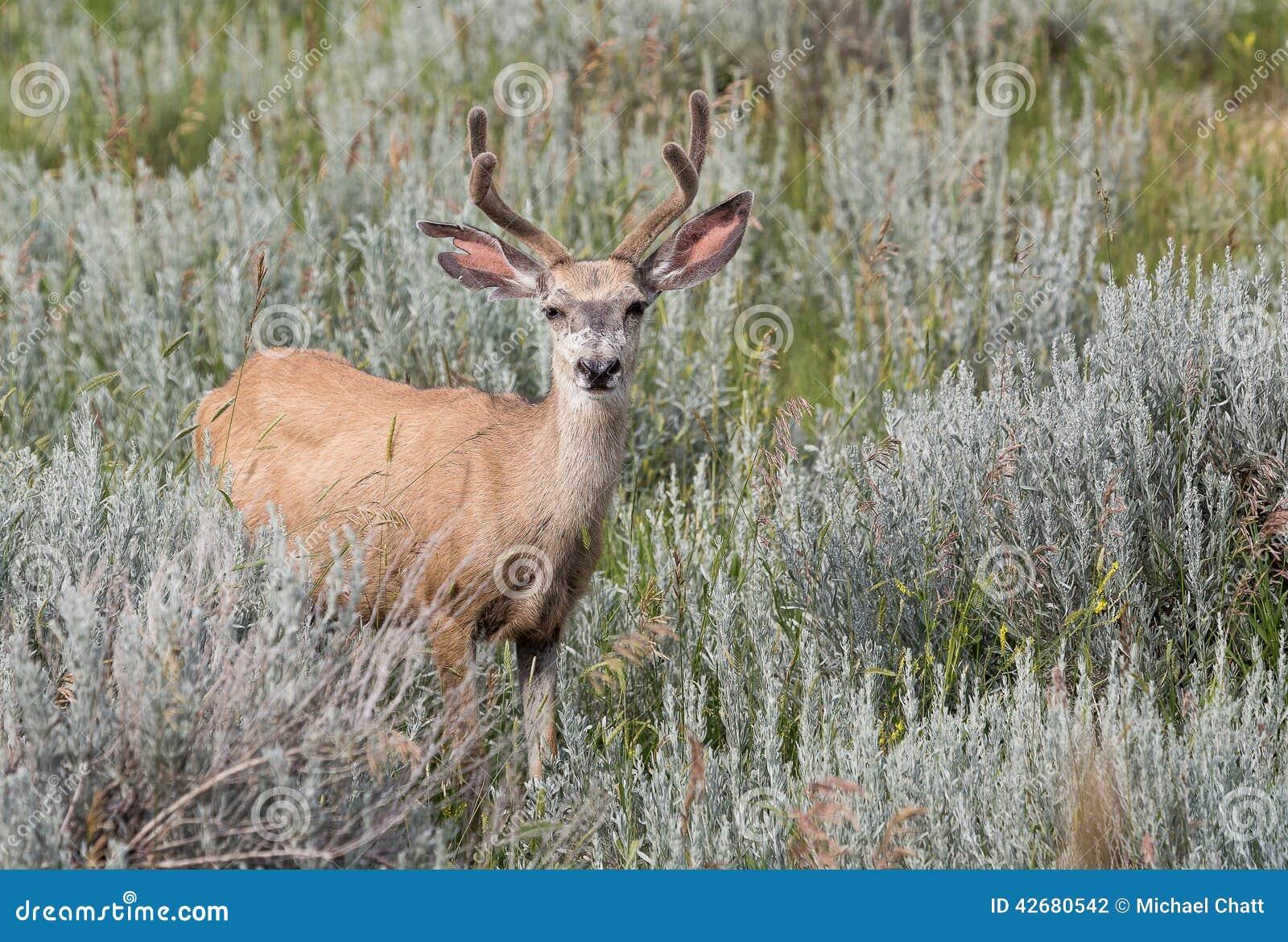 Dólar de los ciervos mula