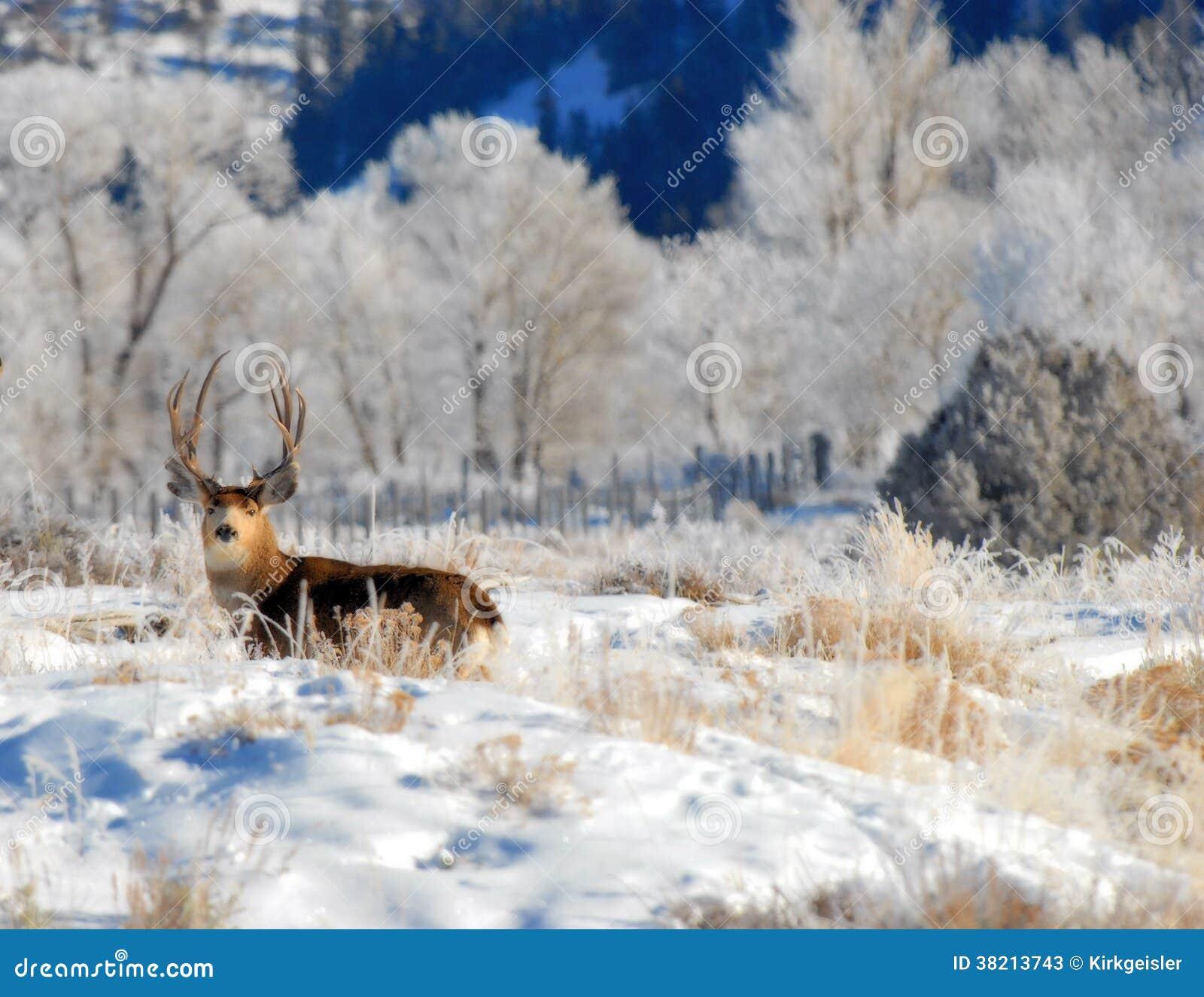 Dólar de los ciervos mula en el invierno