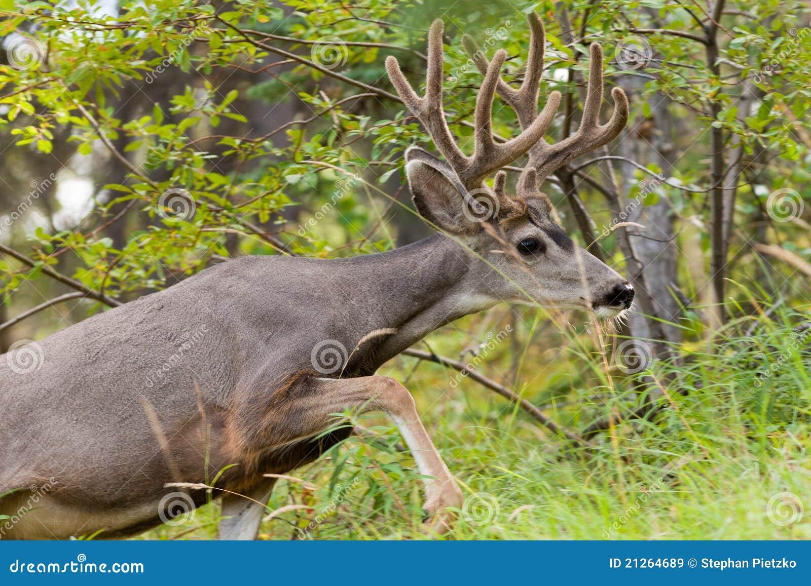 Dólar hermoso de los ciervos de mula con la cornamenta del terciopelo