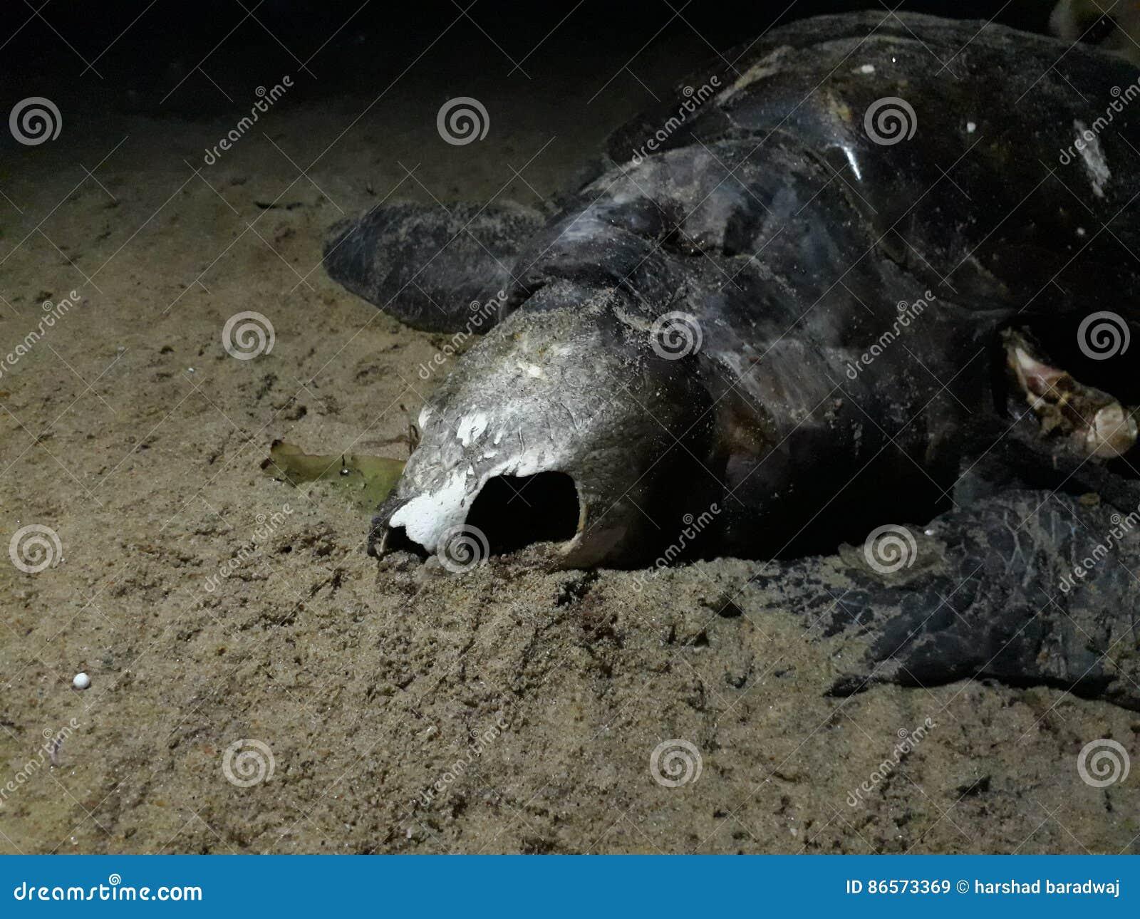 Död sköldpadda med den öppna skallen