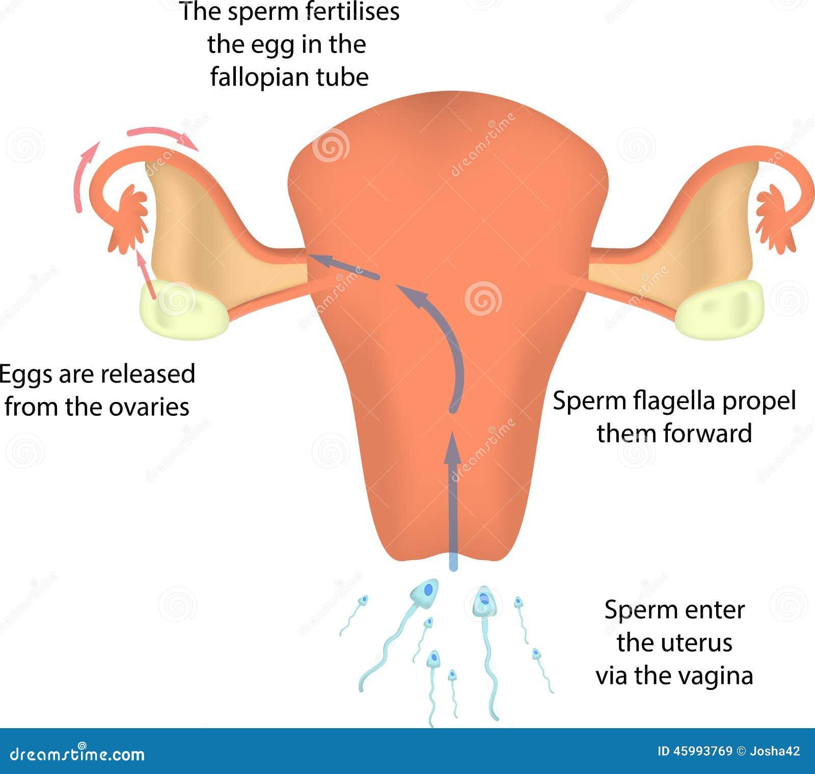 Düngung in der Gebärmutter stockbild. Bild von fertilise - 45993769