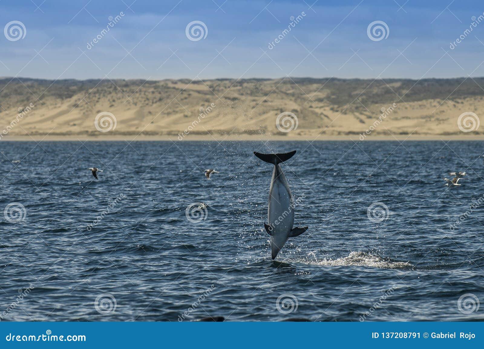 Düsterer Delphin, Patagonia, Argentinien