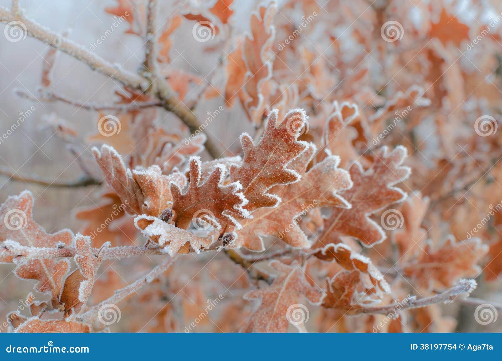 Dębów liście zakrywający z hoarfrost