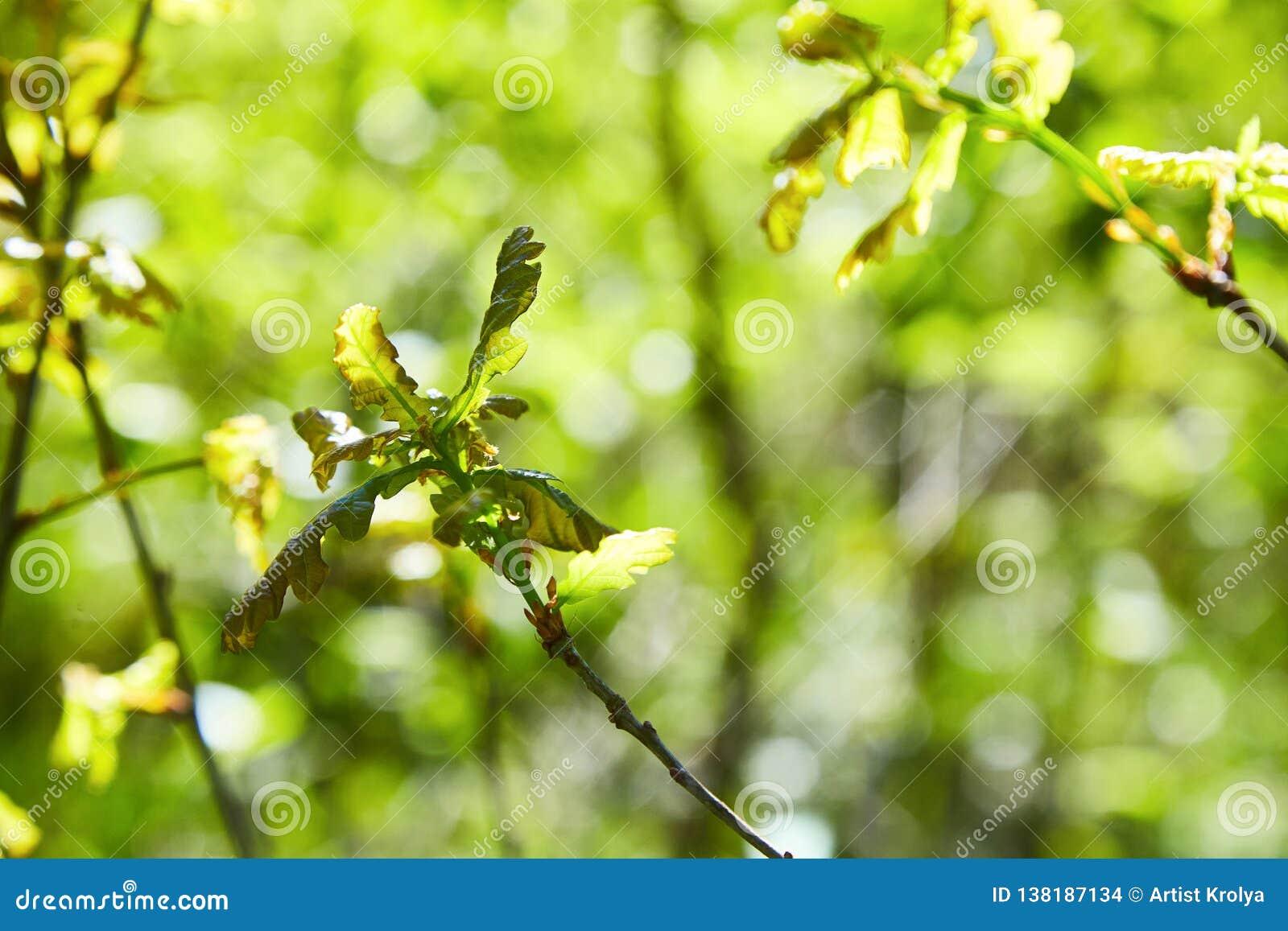 Dębowego drzewa flanca z zielenią opuszcza na glebowym tle wśród rożka światła słonecznego
