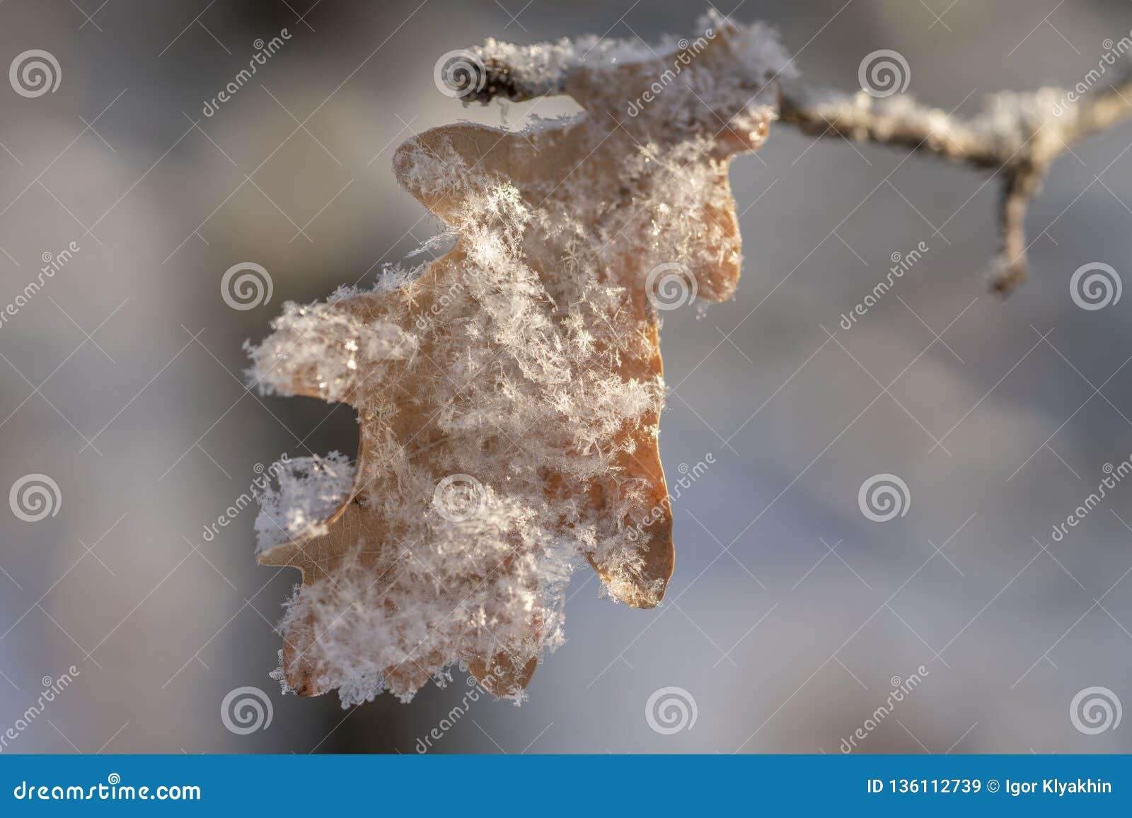 Dębowy liść zakrywający z śniegiem w górę