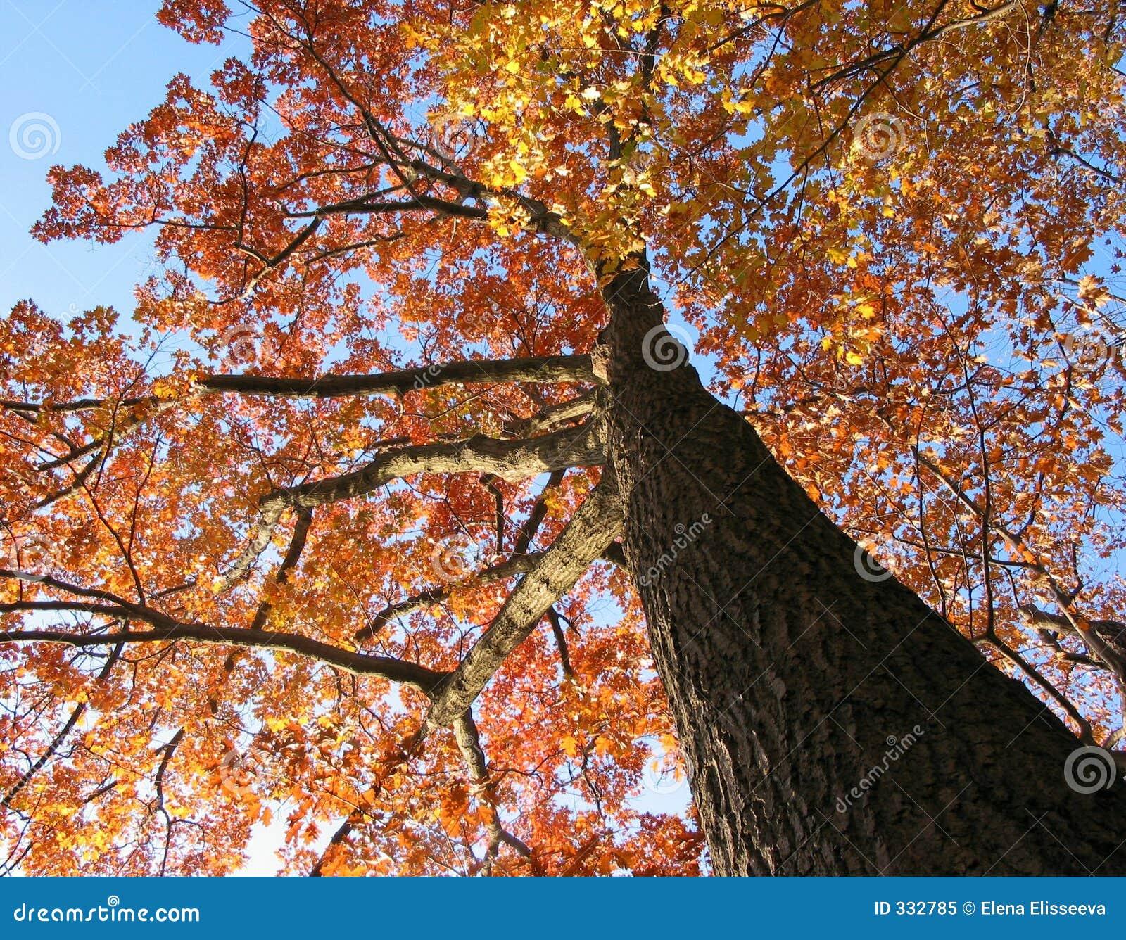 Dębowy stare drzewo jesieni
