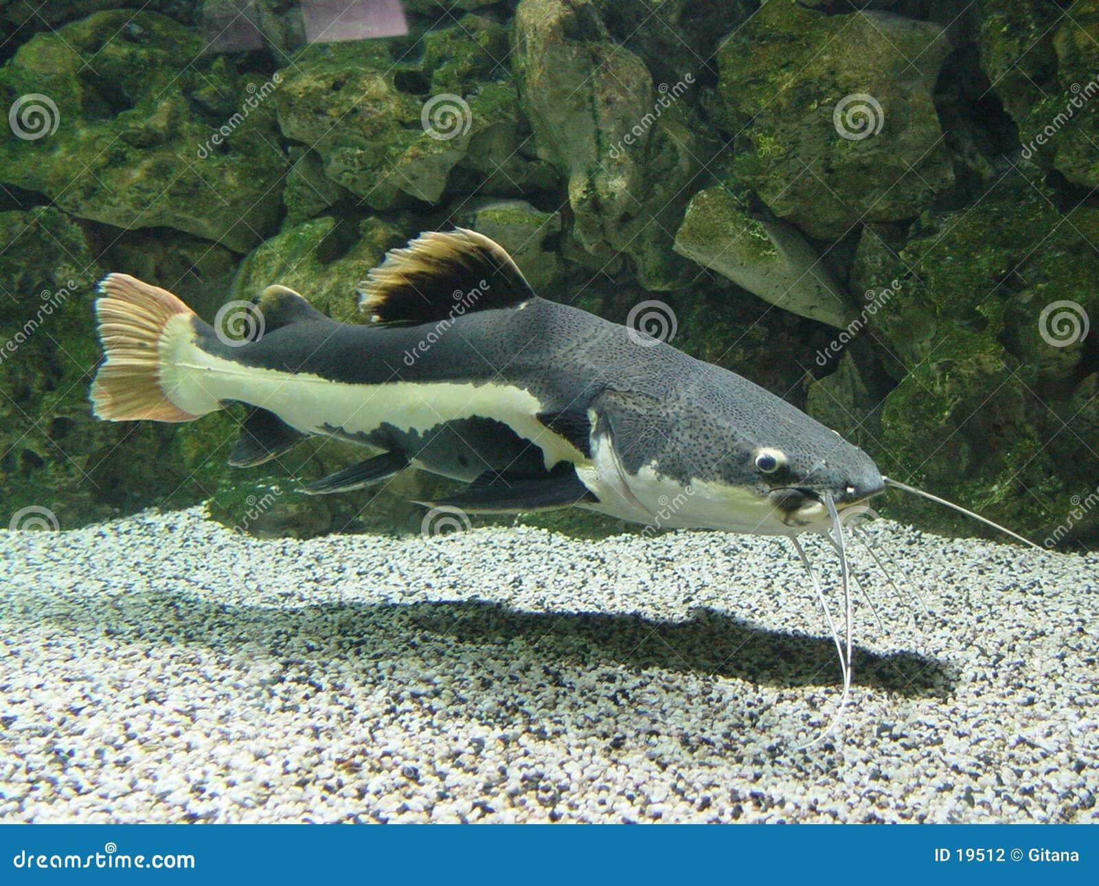 Długo brody ryb