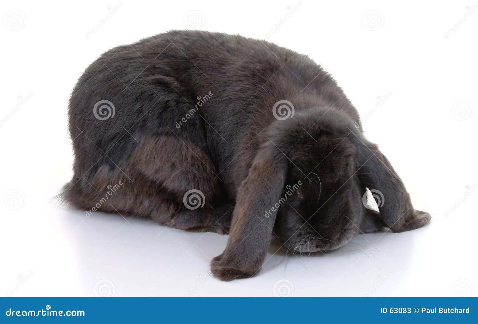 Długo słyszący królik.