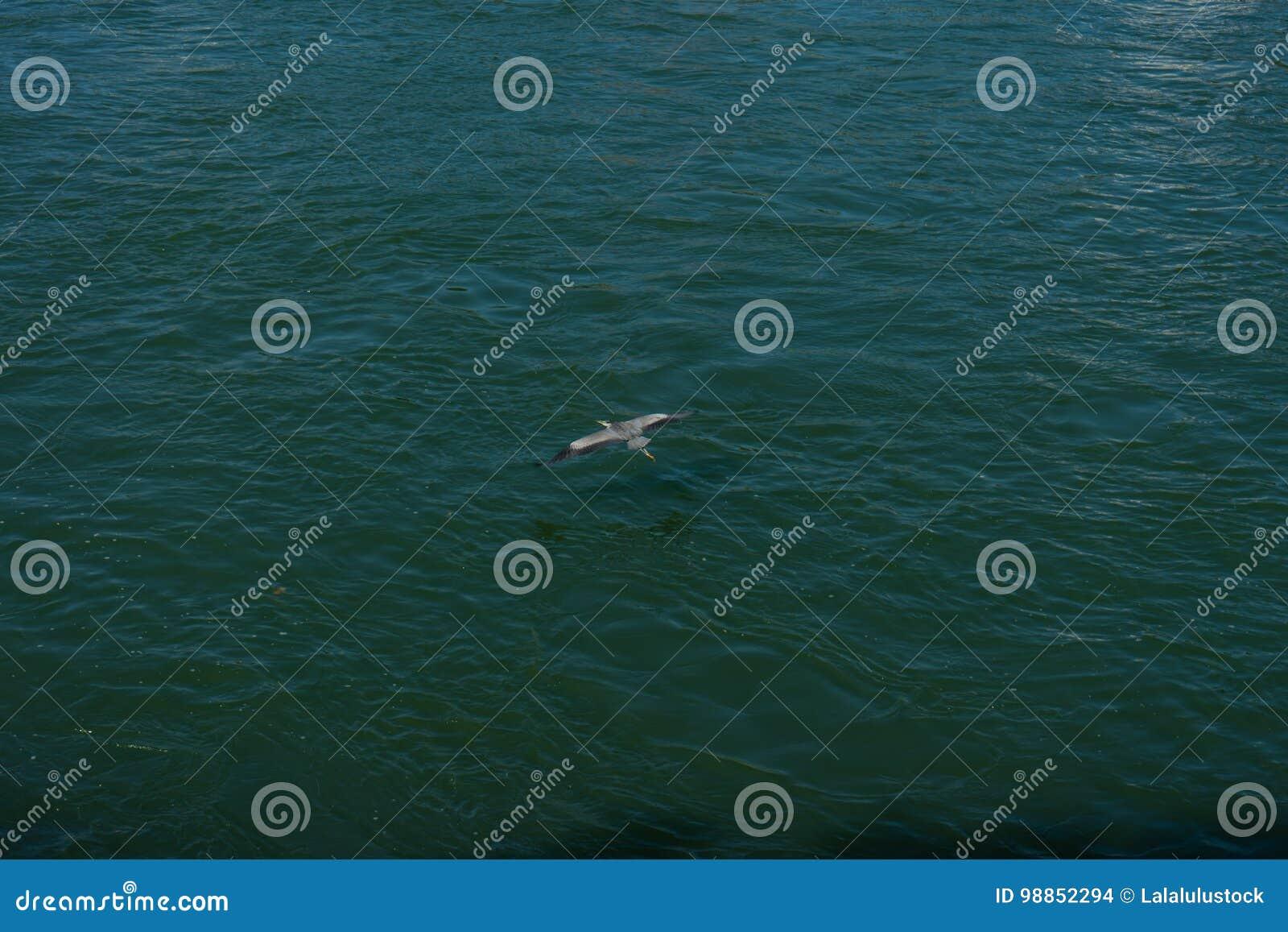 Dźwigowy ptasi latanie nad wodą rzeczną