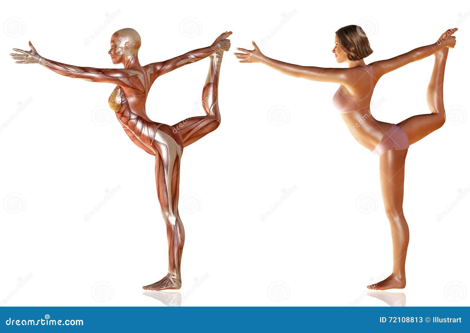 3d übertragen Vom Frauenkörper Mit Der Muskelanatomie, Die Yoga Tut ...