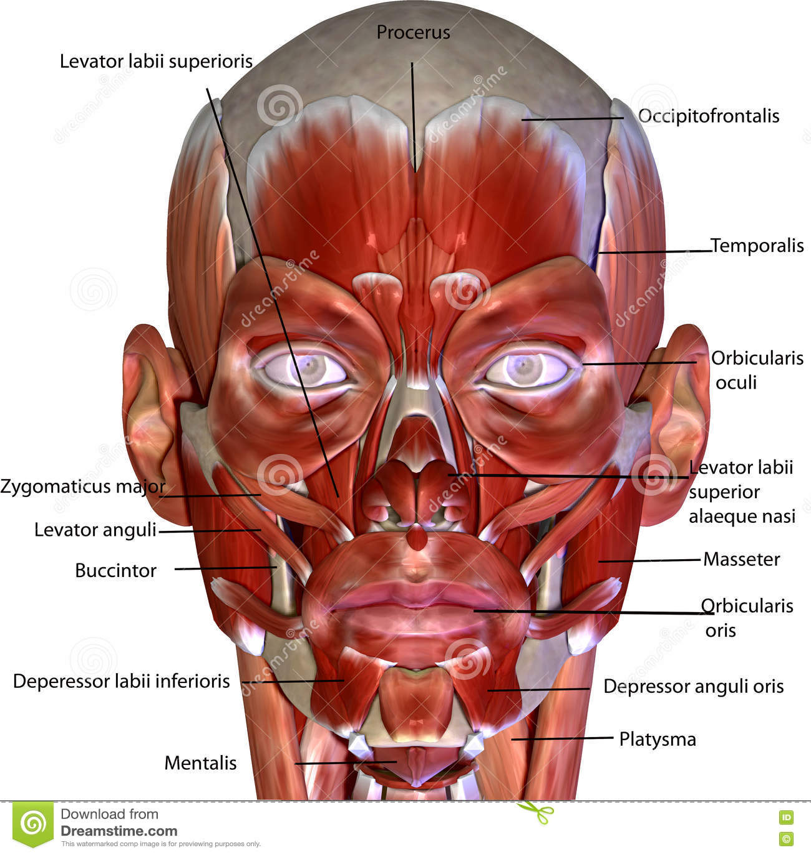 3d übertrug Illustration - Muskelanatomie Des Menschlichen Körpers ...