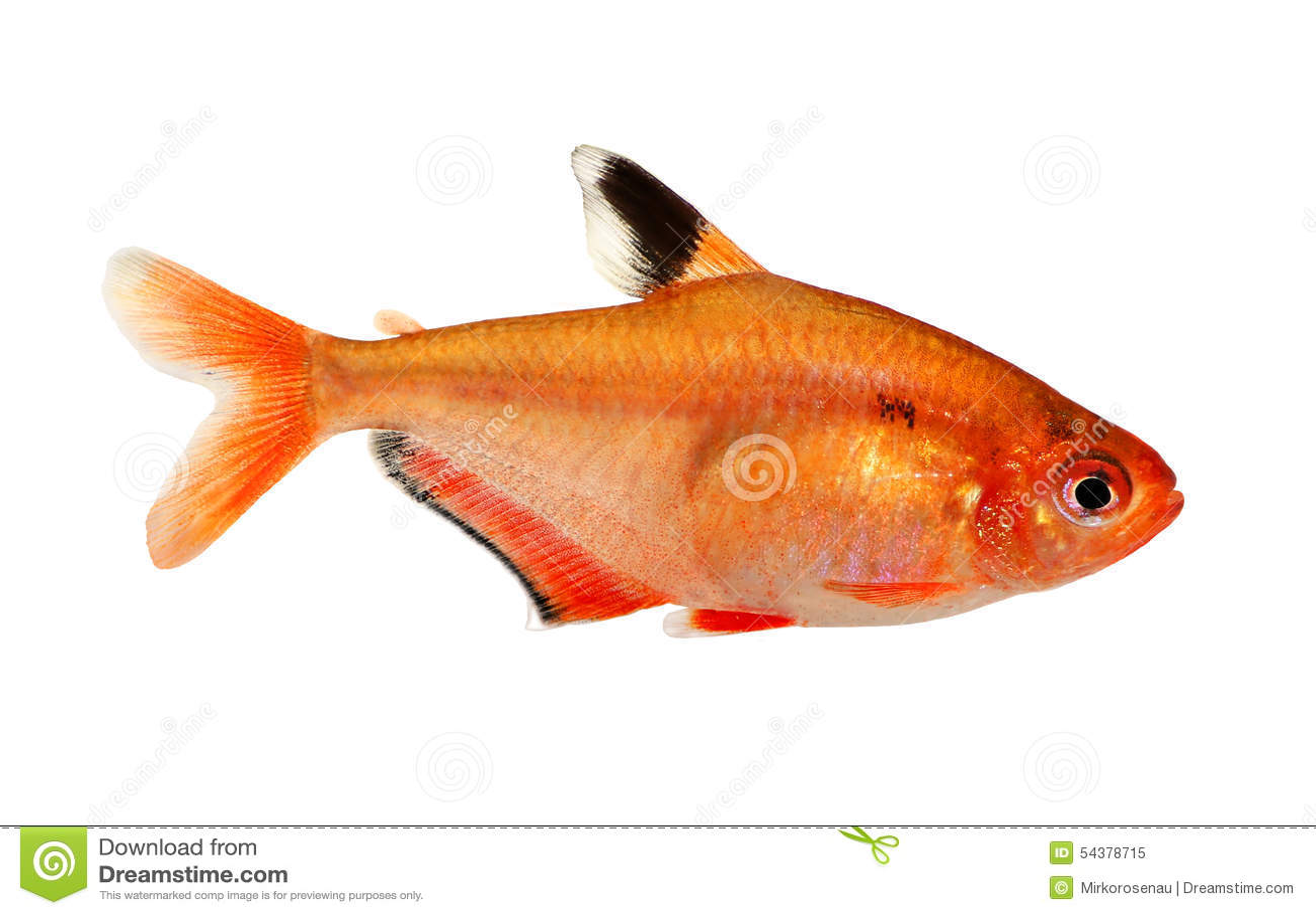 D 39 aquarium de poissons t tra barb hyphessobrycon eau douce for Poisson aquarium douce