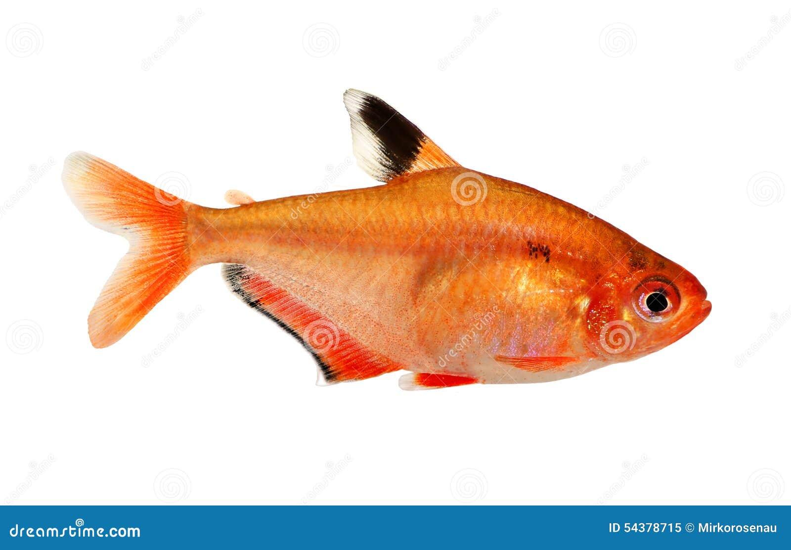 D 39 aquarium de poissons t tra barb hyphessobrycon eau douce for Poisson tetra rouge