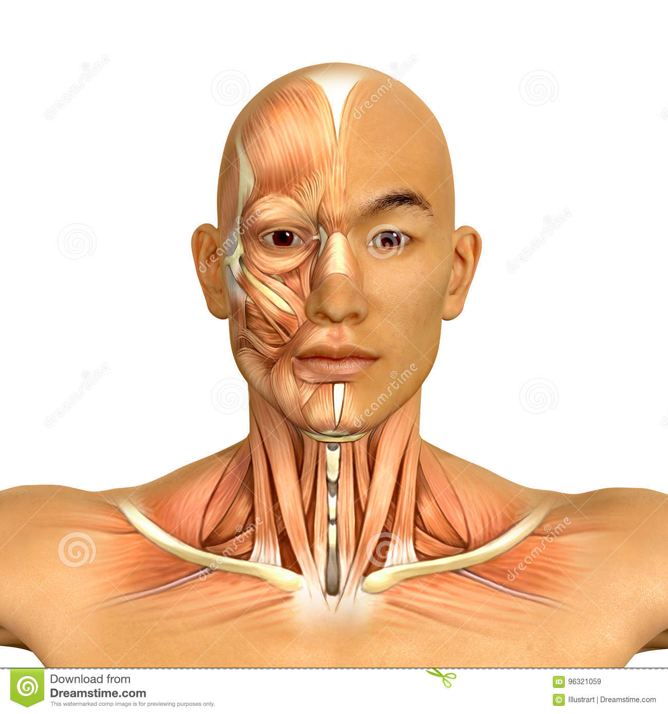 3d Asian Male Model Face And Neck Muscles Anatomy Stock Illustration ...