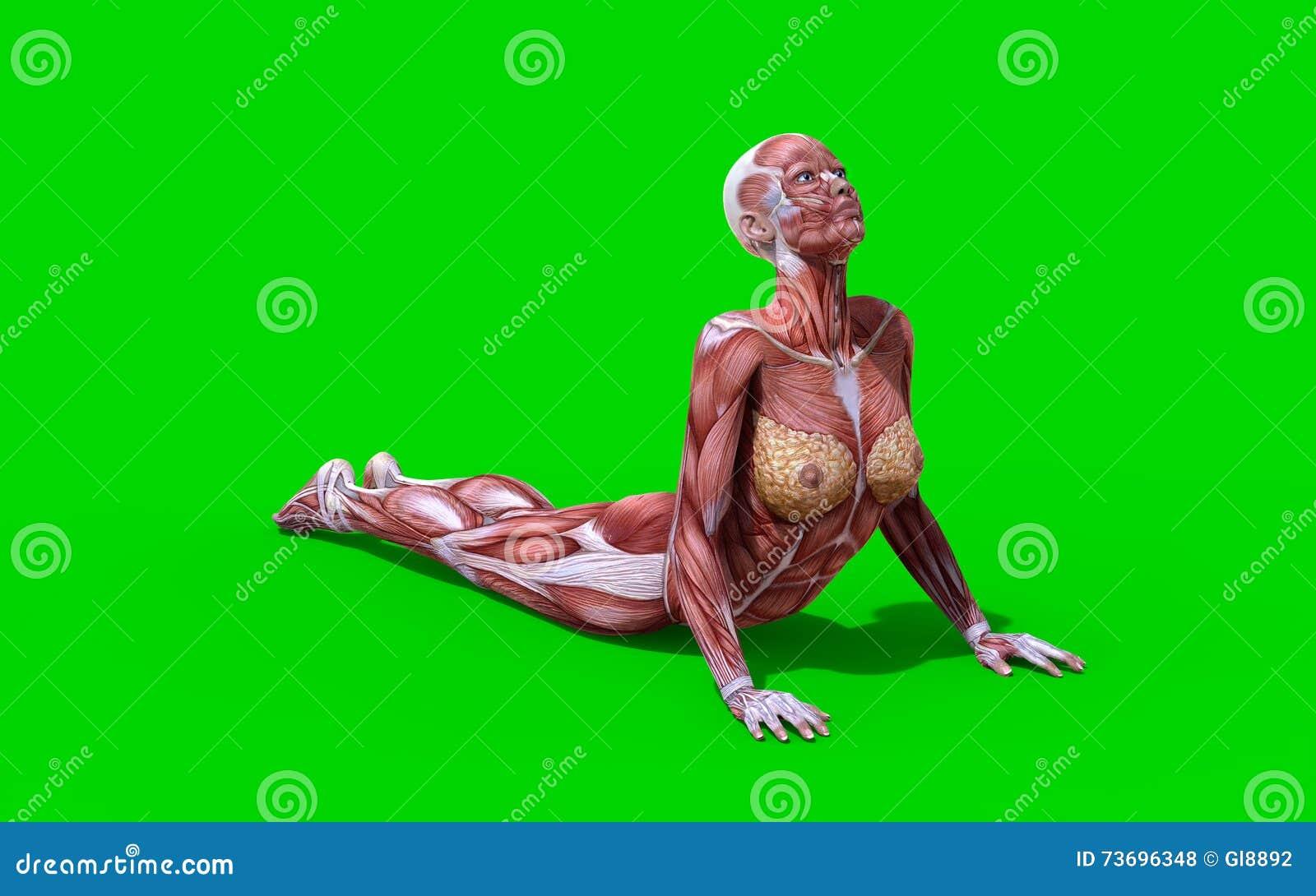 3D Digitales Rinden De Una Figura Femenina De La Anatomía De La ...