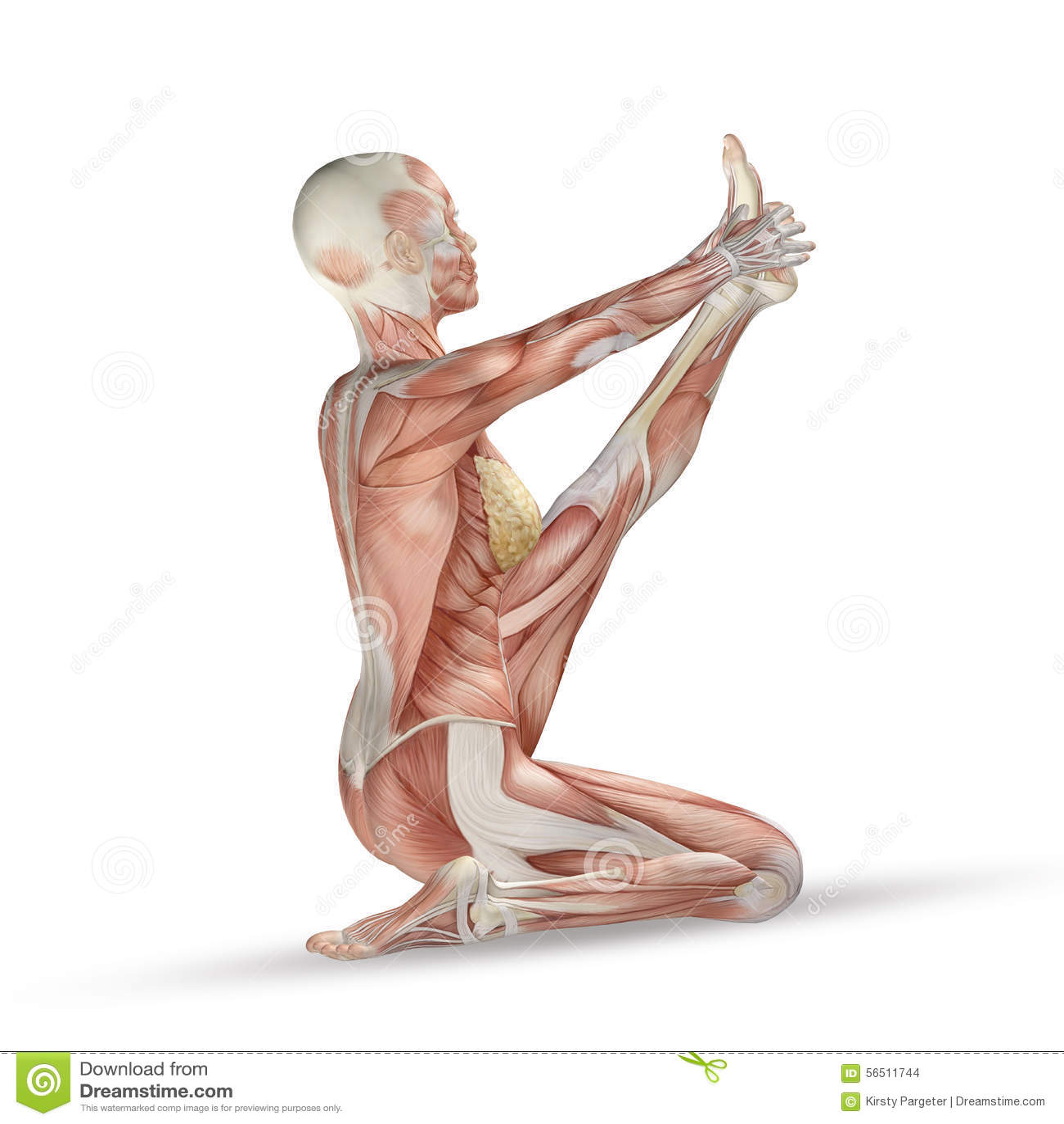 3D Medical Figure With Muscle Map In Yoga Position Stock ... on yoga energy, yoga international, yoga back, yoga stretches, yoga adrenal glands, yoga leg workout, yoga history, yoga skin, yoga peace, yoga anatomy, yoga strength, yoga mind, yoga bones,