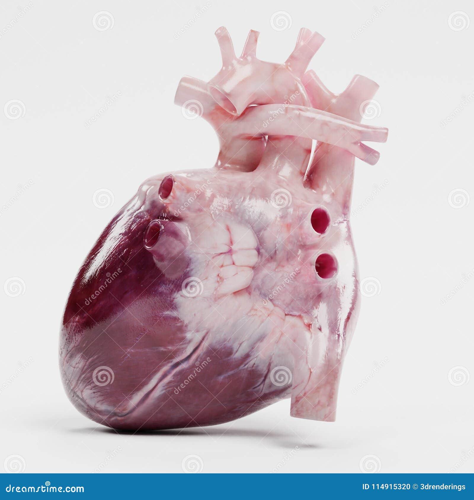 3d framför av mänsklig hjärta