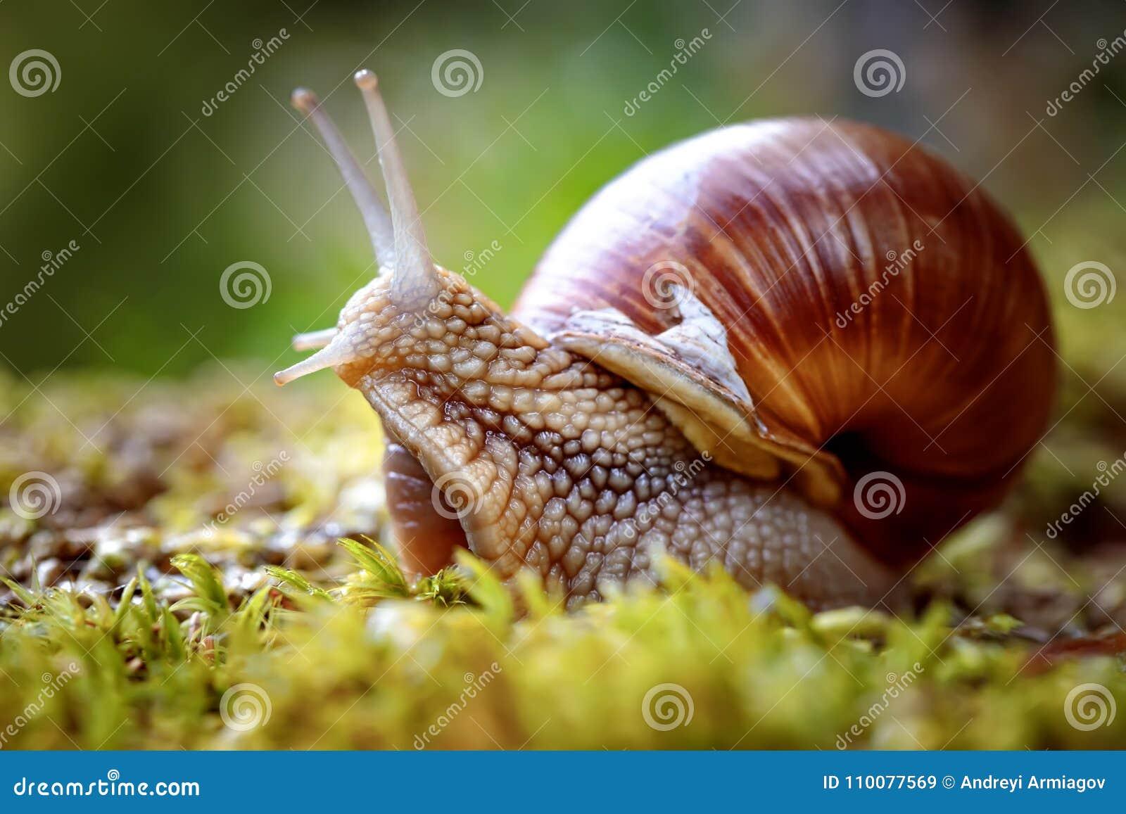 D hélice de pomatia escargot romain également, escargot de Bourgogne